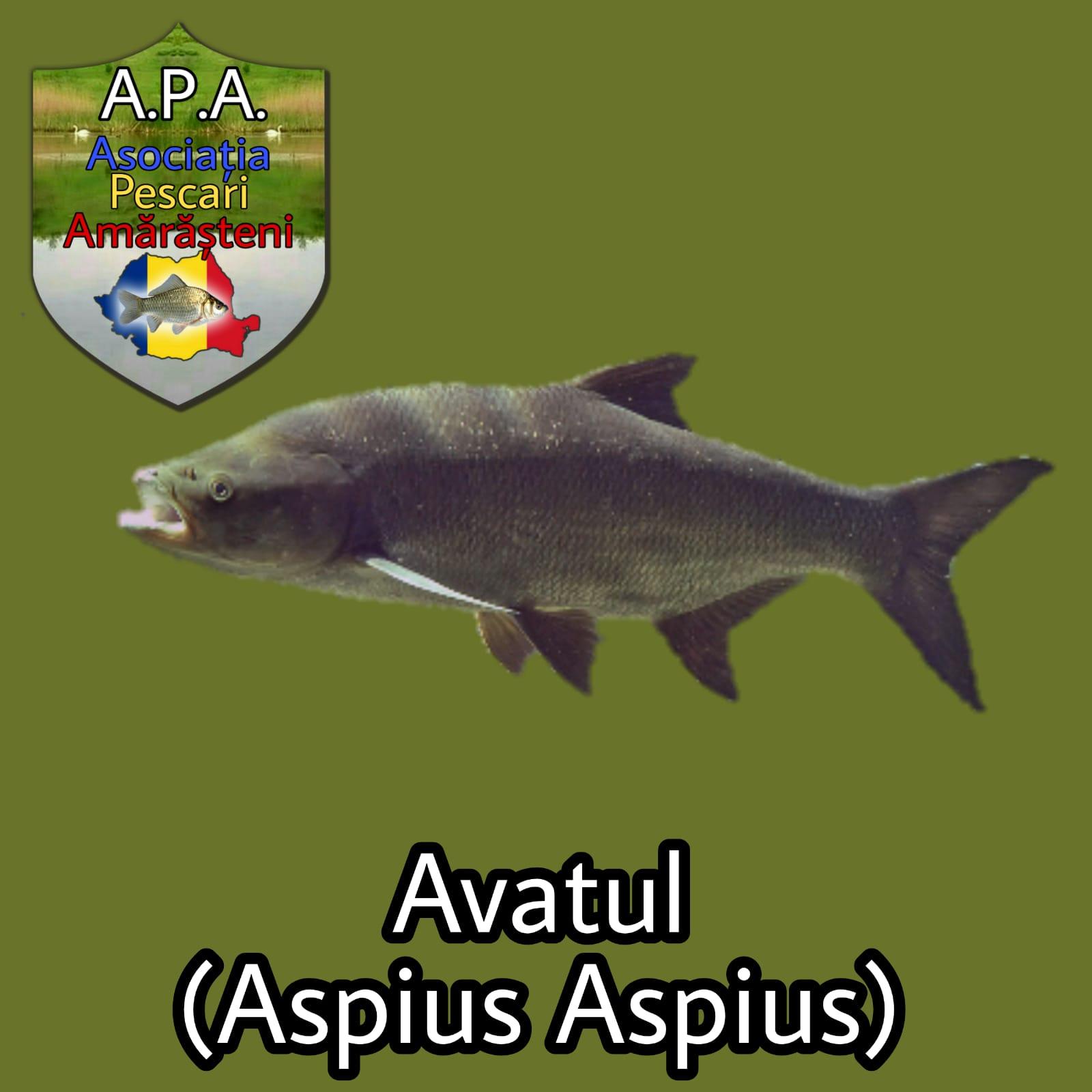 Avatul (Aspius aspius)