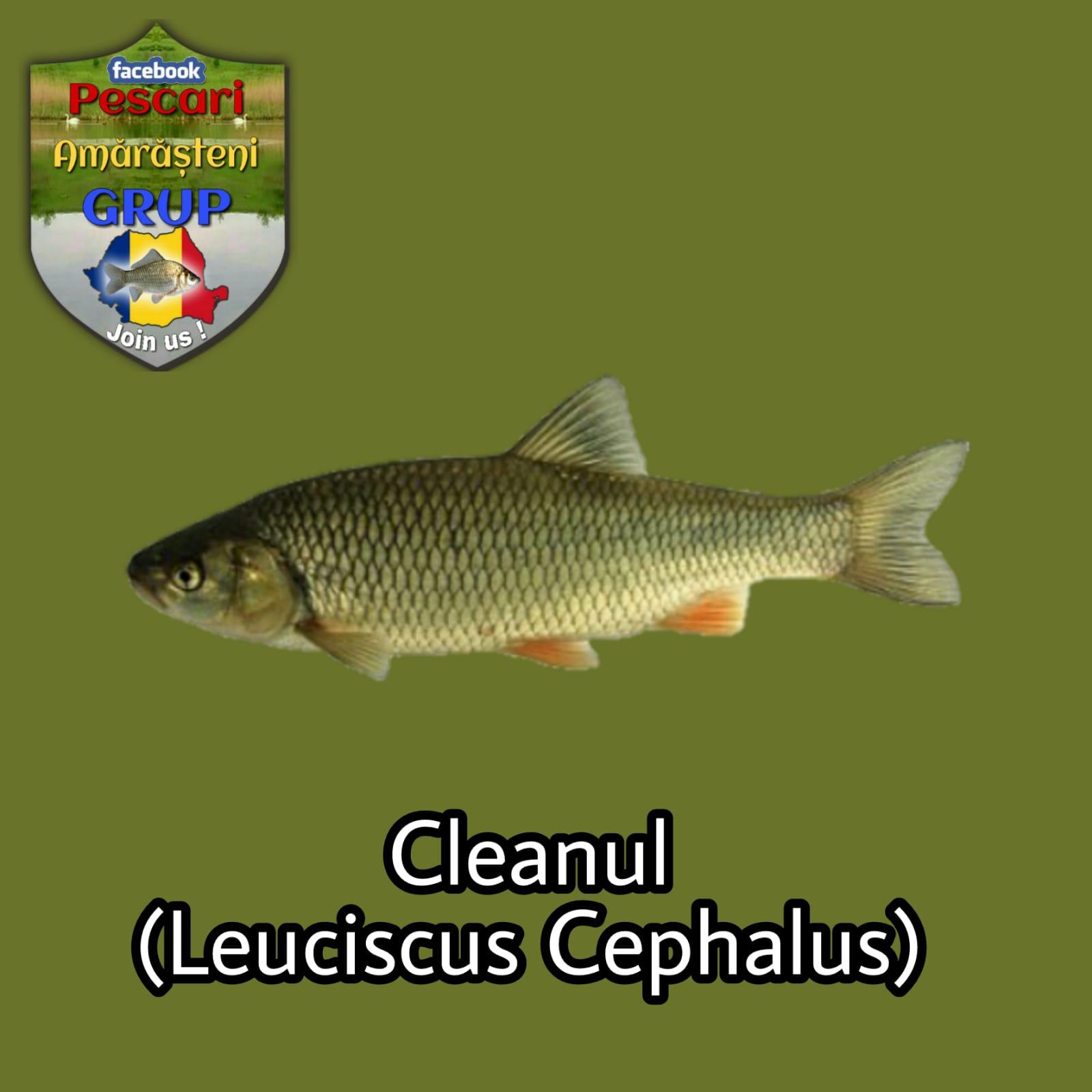 Cleanul (Leuciscus/Squalius cephalus)