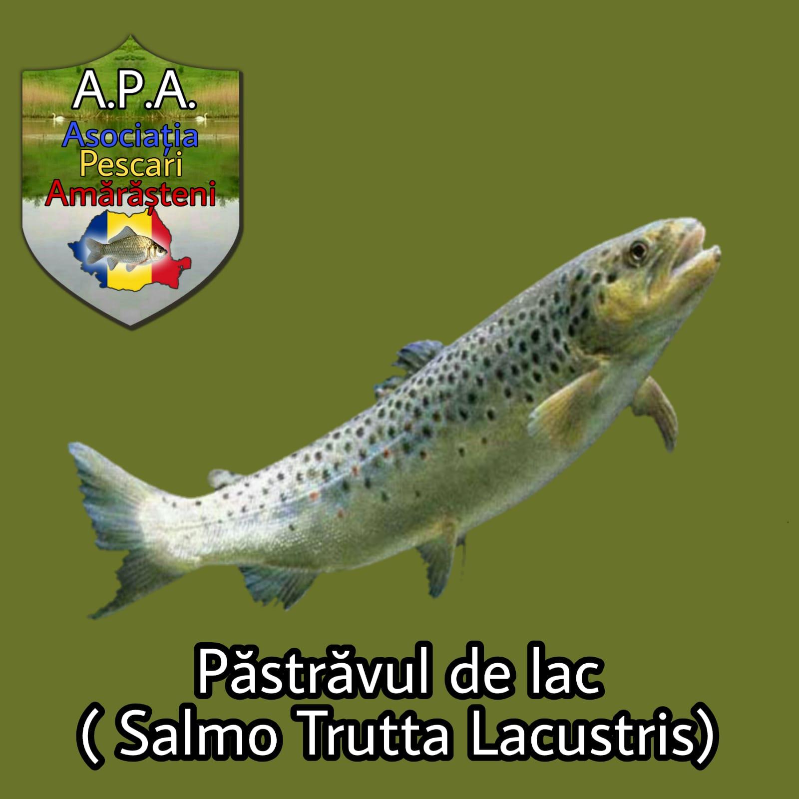 Păstrăvul de lac (Salmo trutta lacustris)