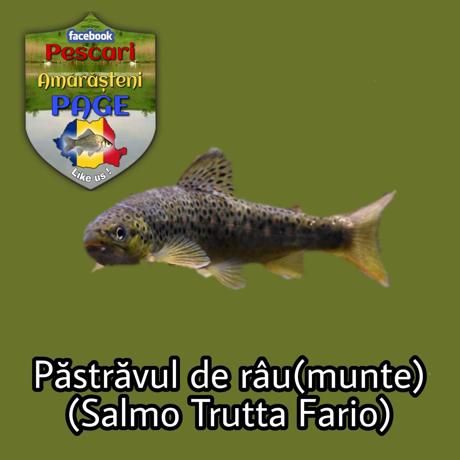 Păstrăvul de râu (Salmo trutta fario)