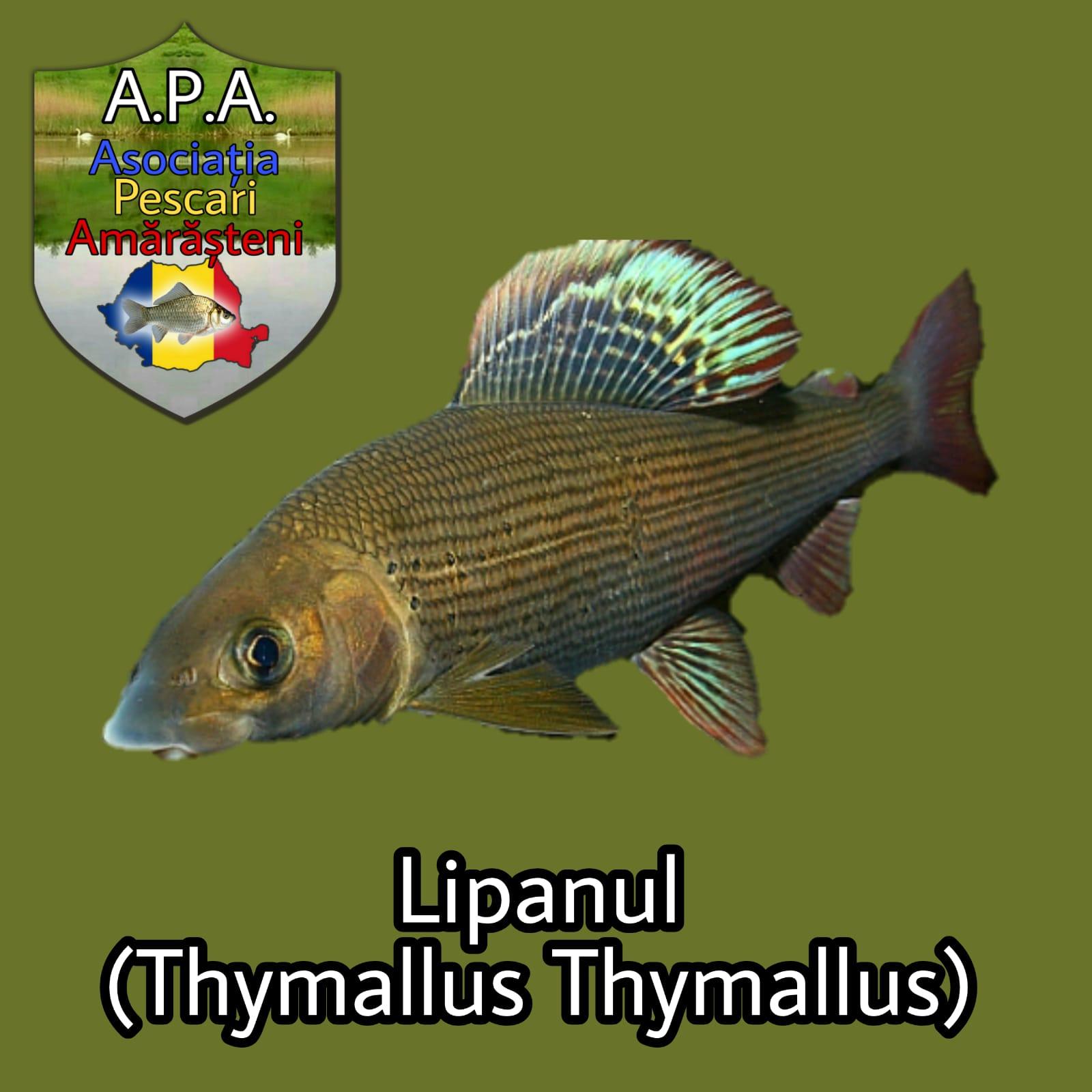 Lipanul (Thymallus thimallus)