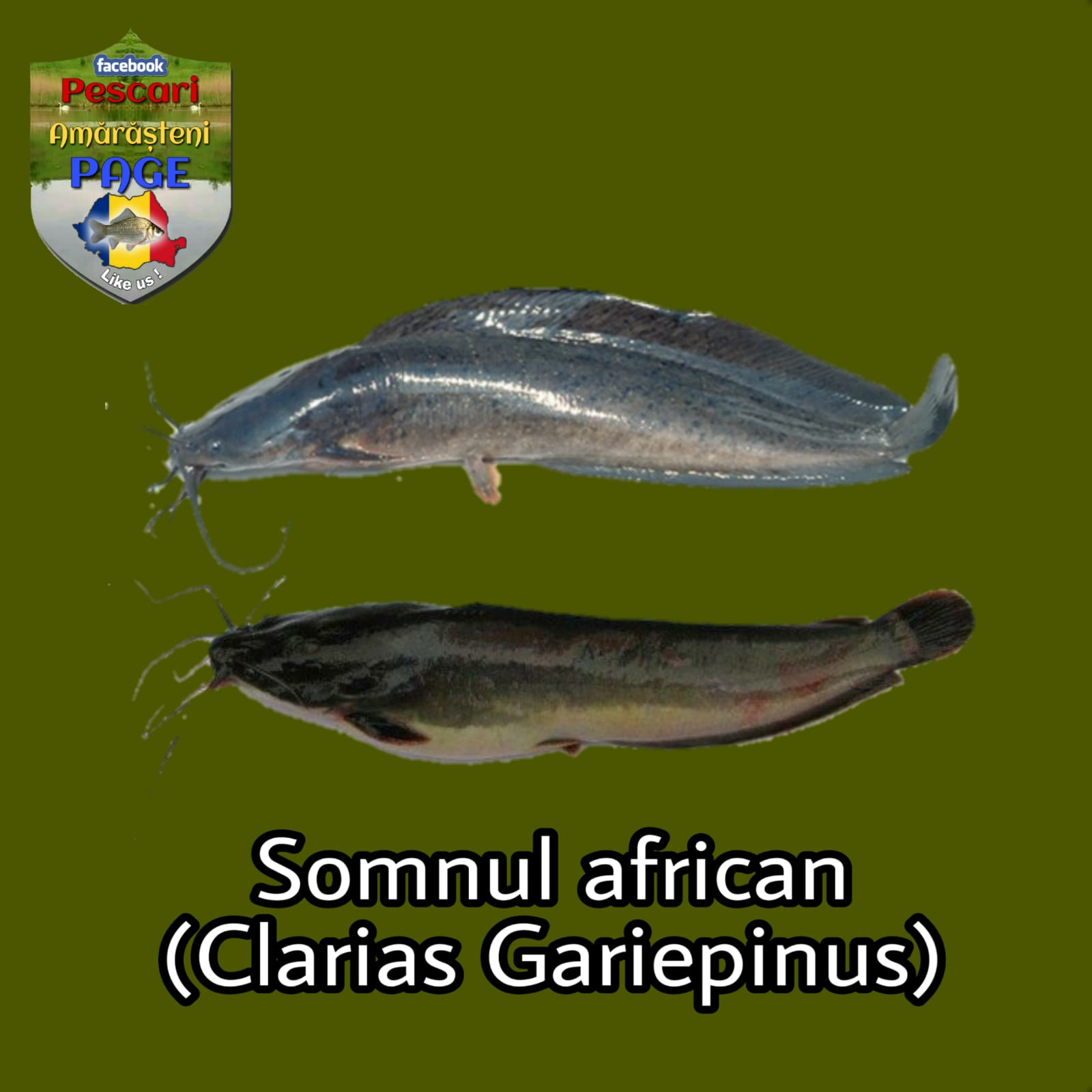 Somnul african (Clarias gariepinus)