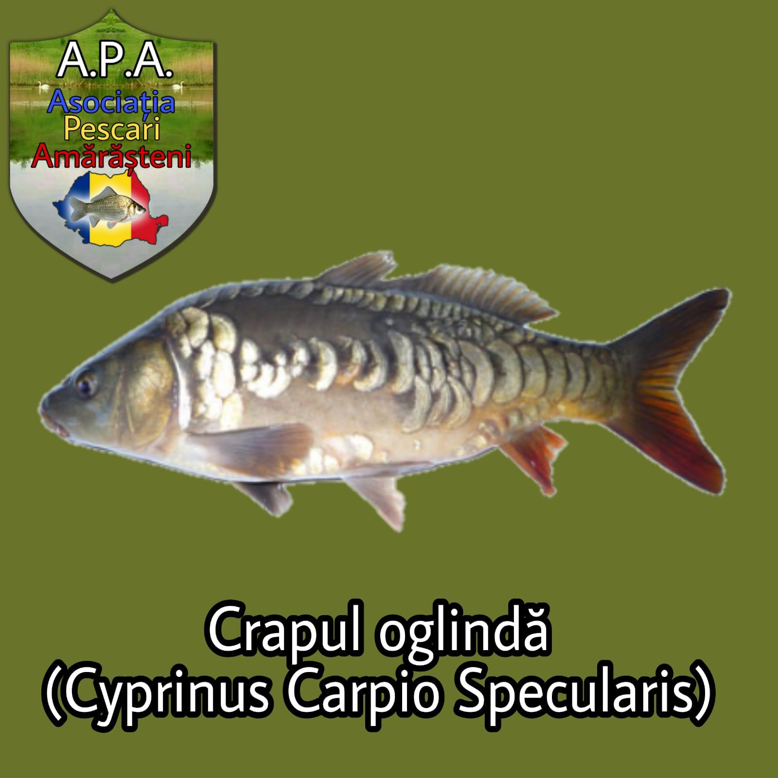 Crapul oglindă (Cyprinus carpio specularis)