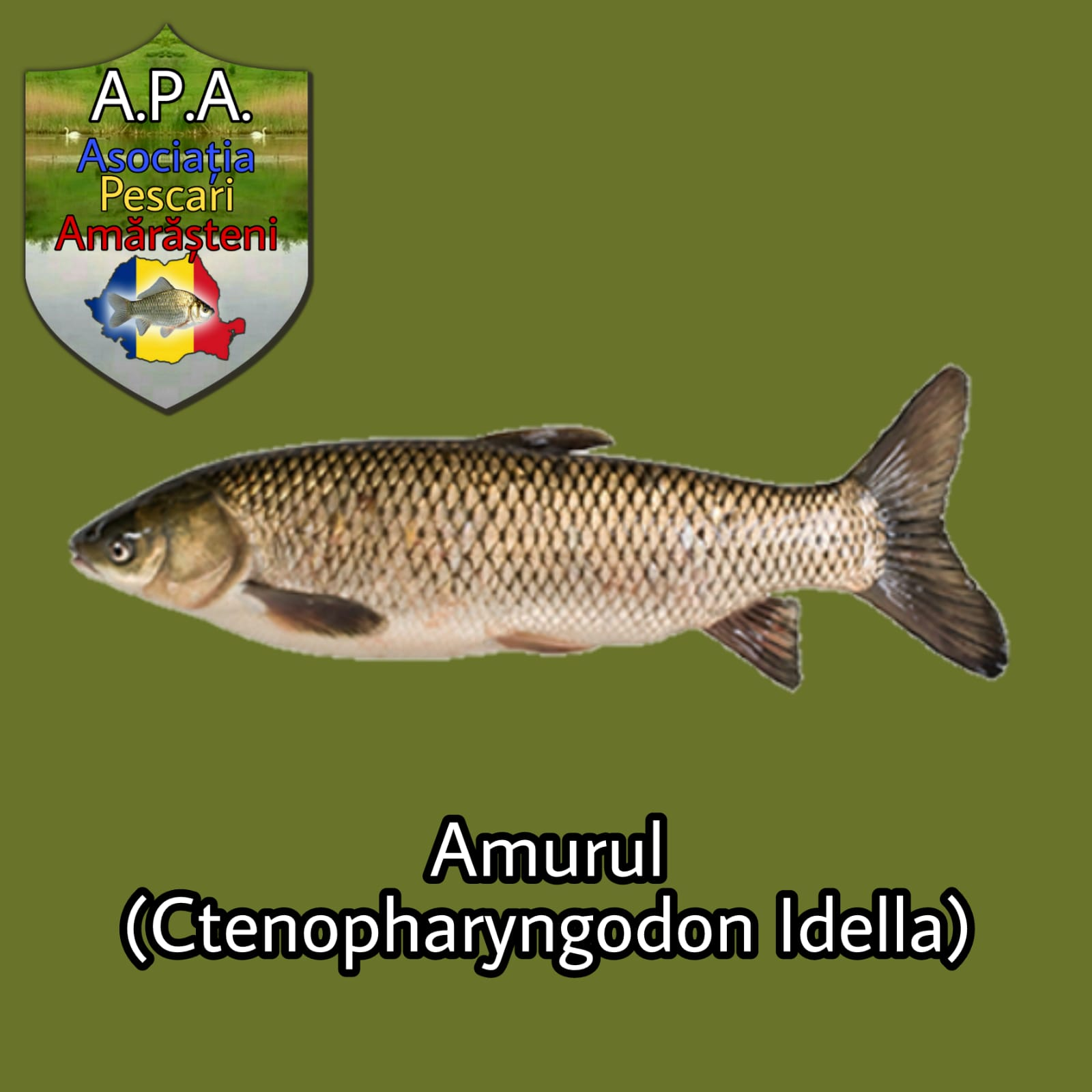 Amurul (Ctenopharyngodon idella)