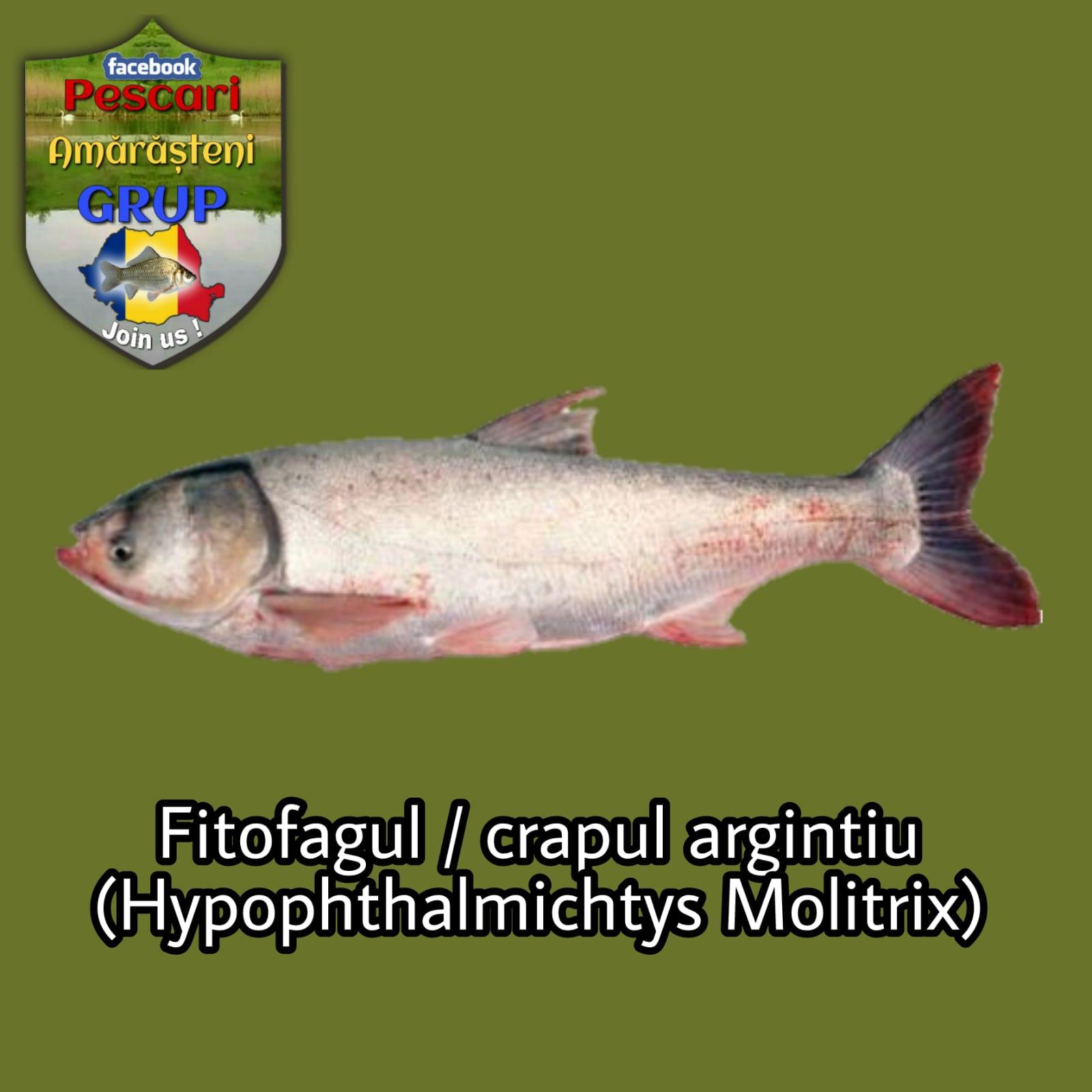 Fitofagul (Hypophthalmichtys molitrix)