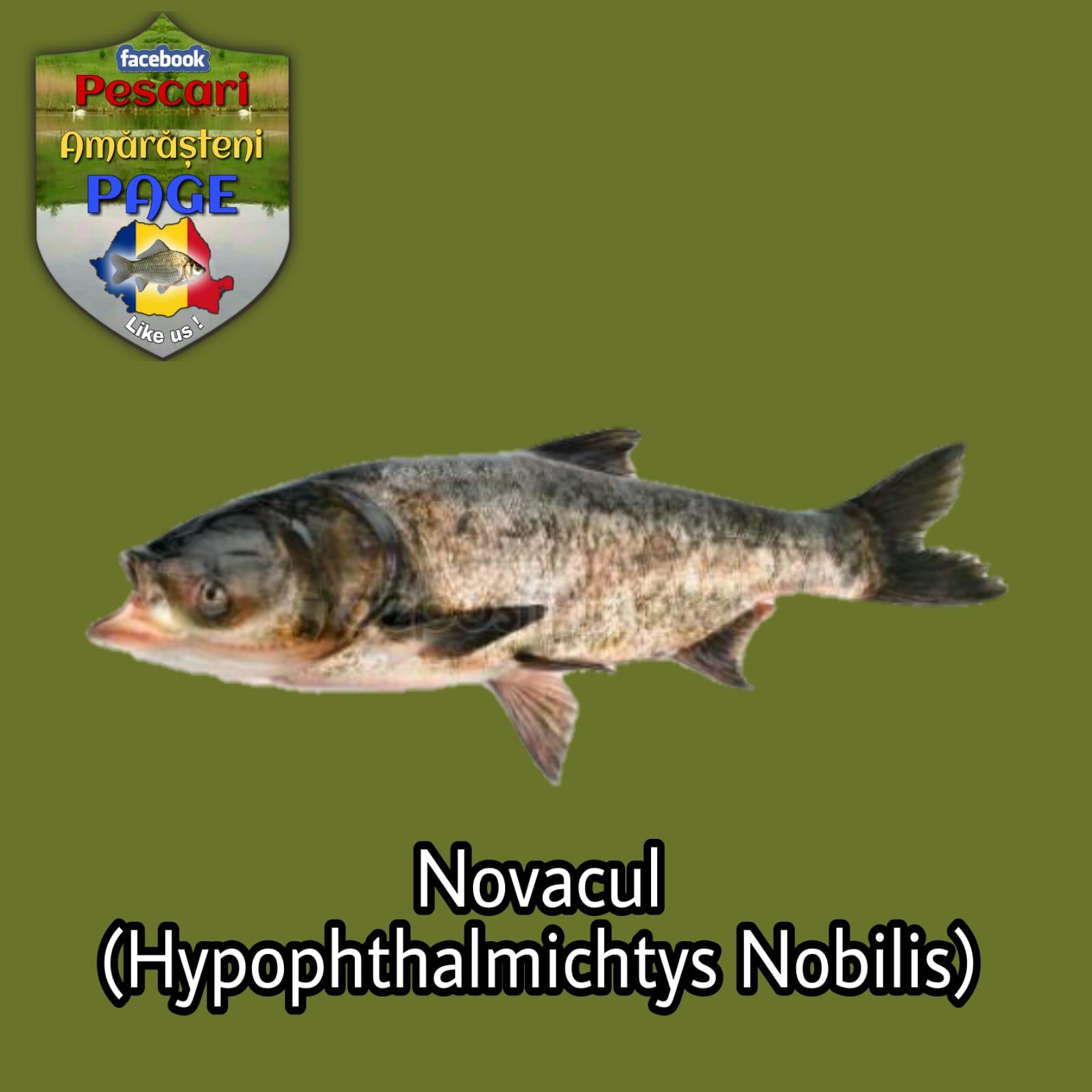 Novacul (Hypophthalmichtys nobilis)