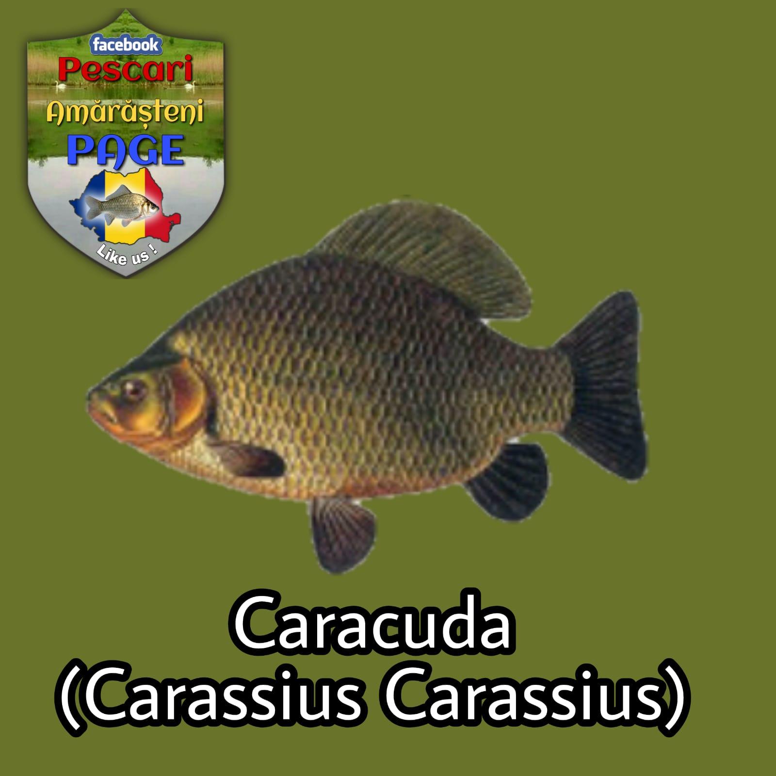 Caracuda (Carassius carassius)