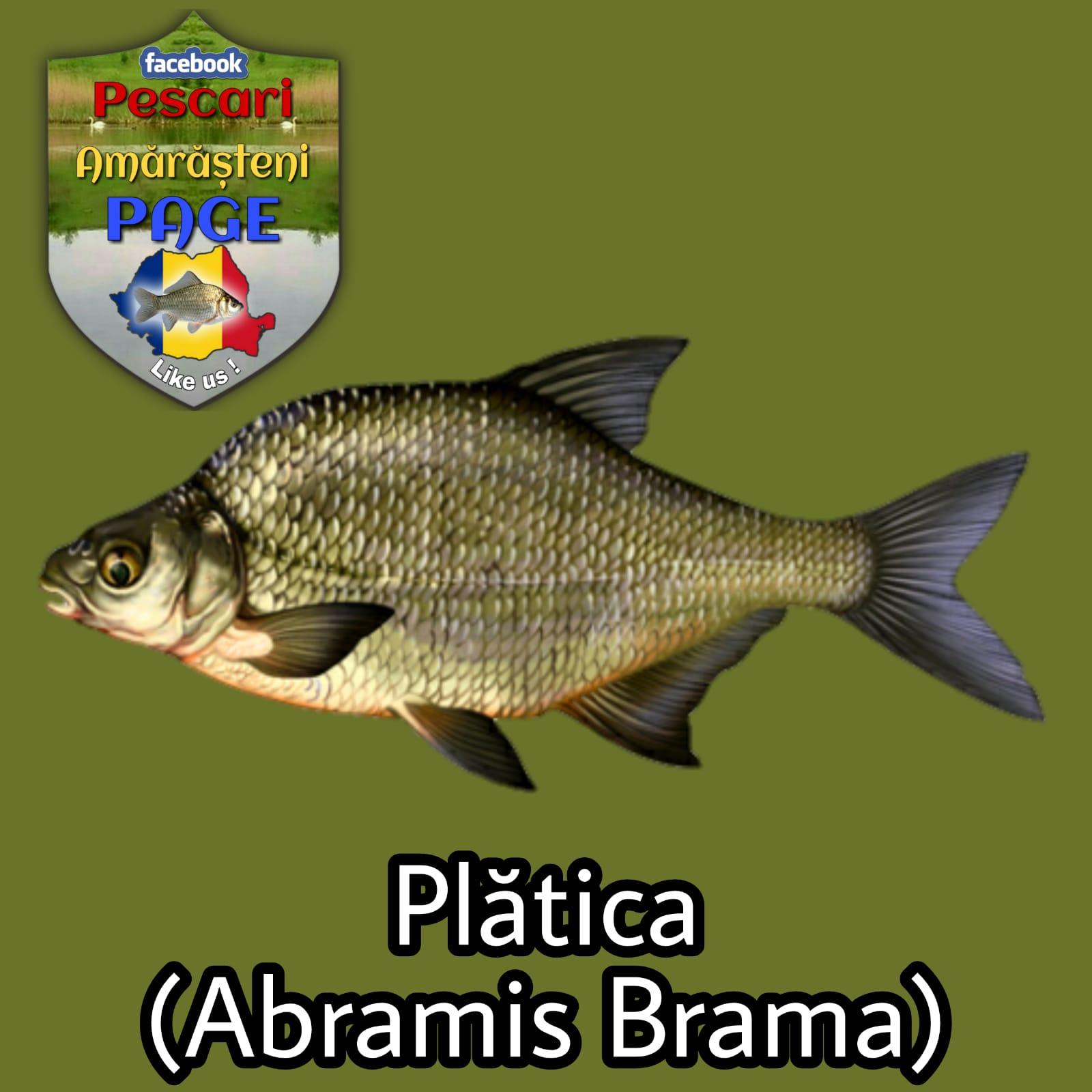 Plătica (Abramis brama)