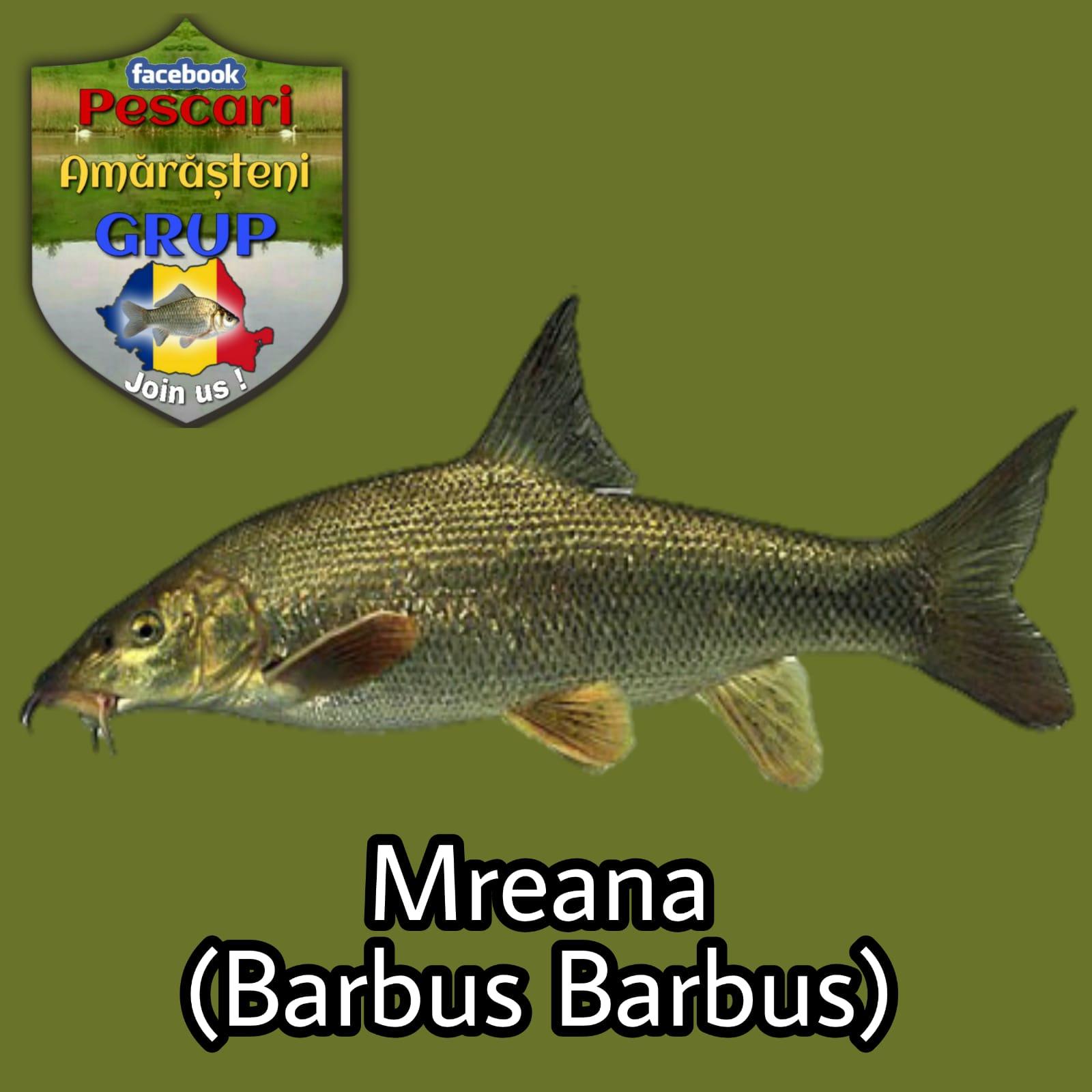 Mreana (Barbus barbus)