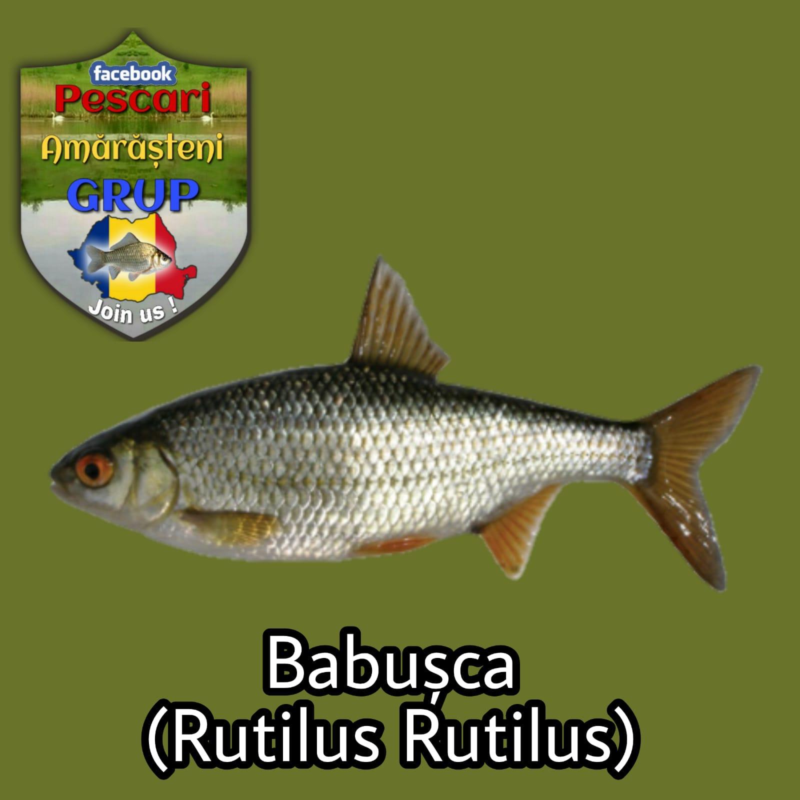 Babușca (Rutilus rutilus)