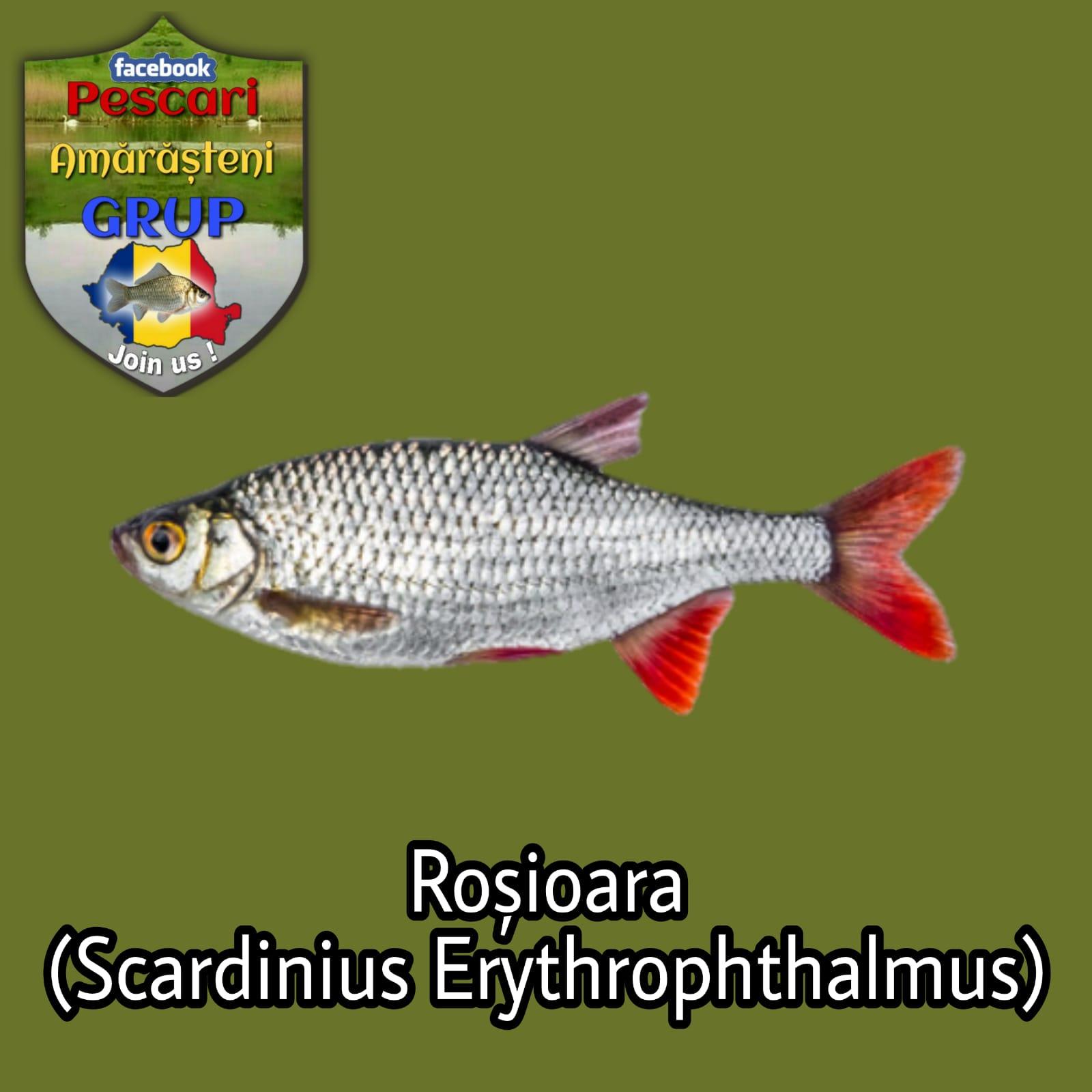 Roșioara (Scardinius erythrophthalmus)