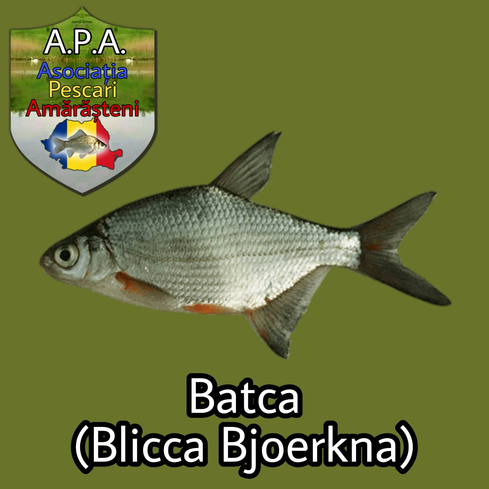 Batca (Blicca bjoerkna)