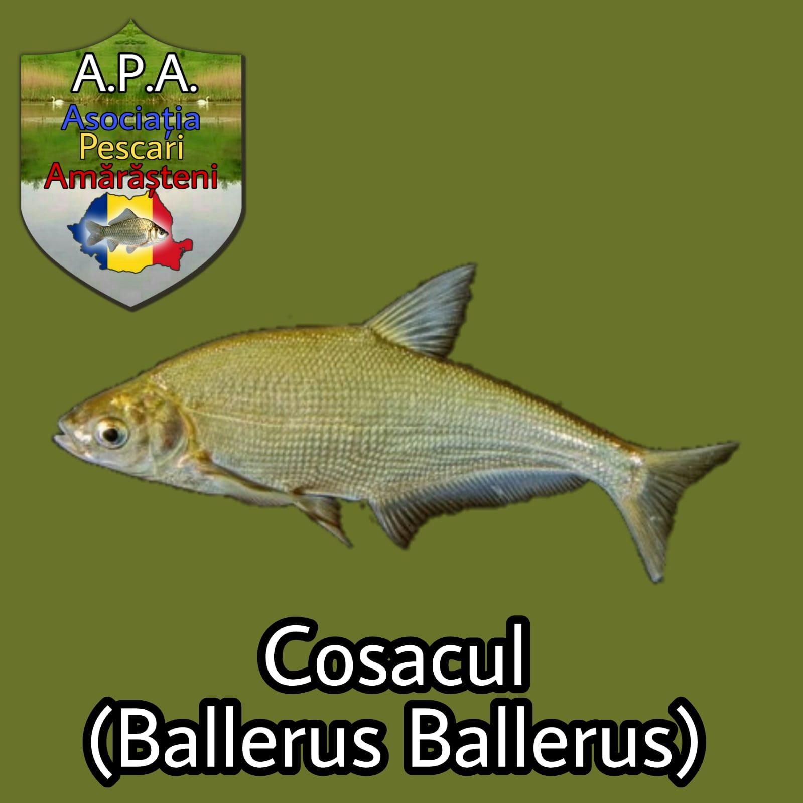 Cosacul (Ballerus ballerus)