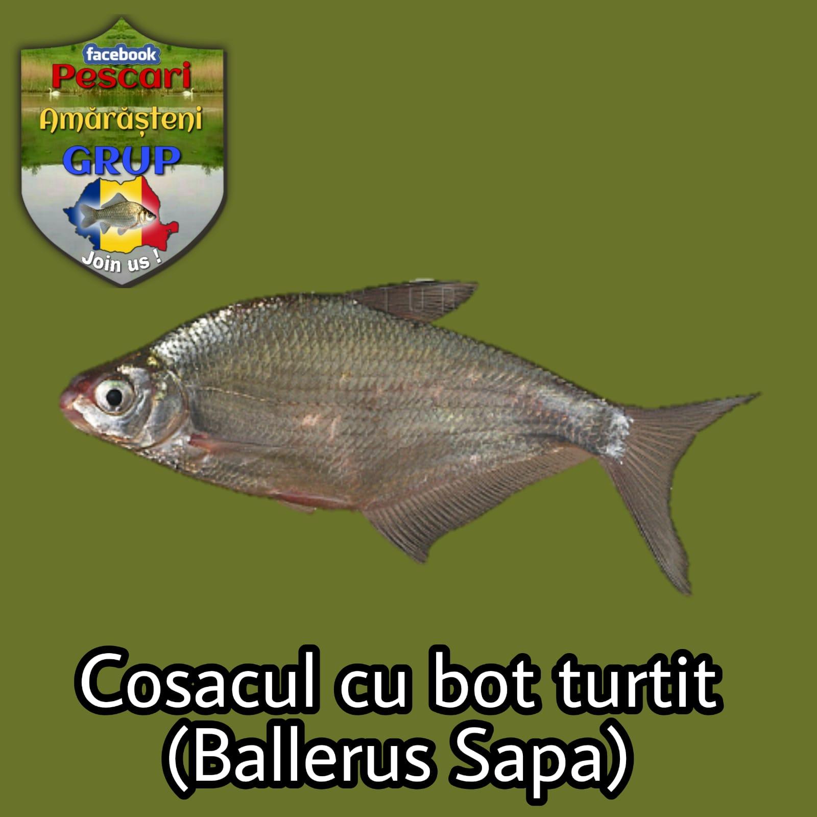 Cosacul cu bot turtit (Ballerus sapa)