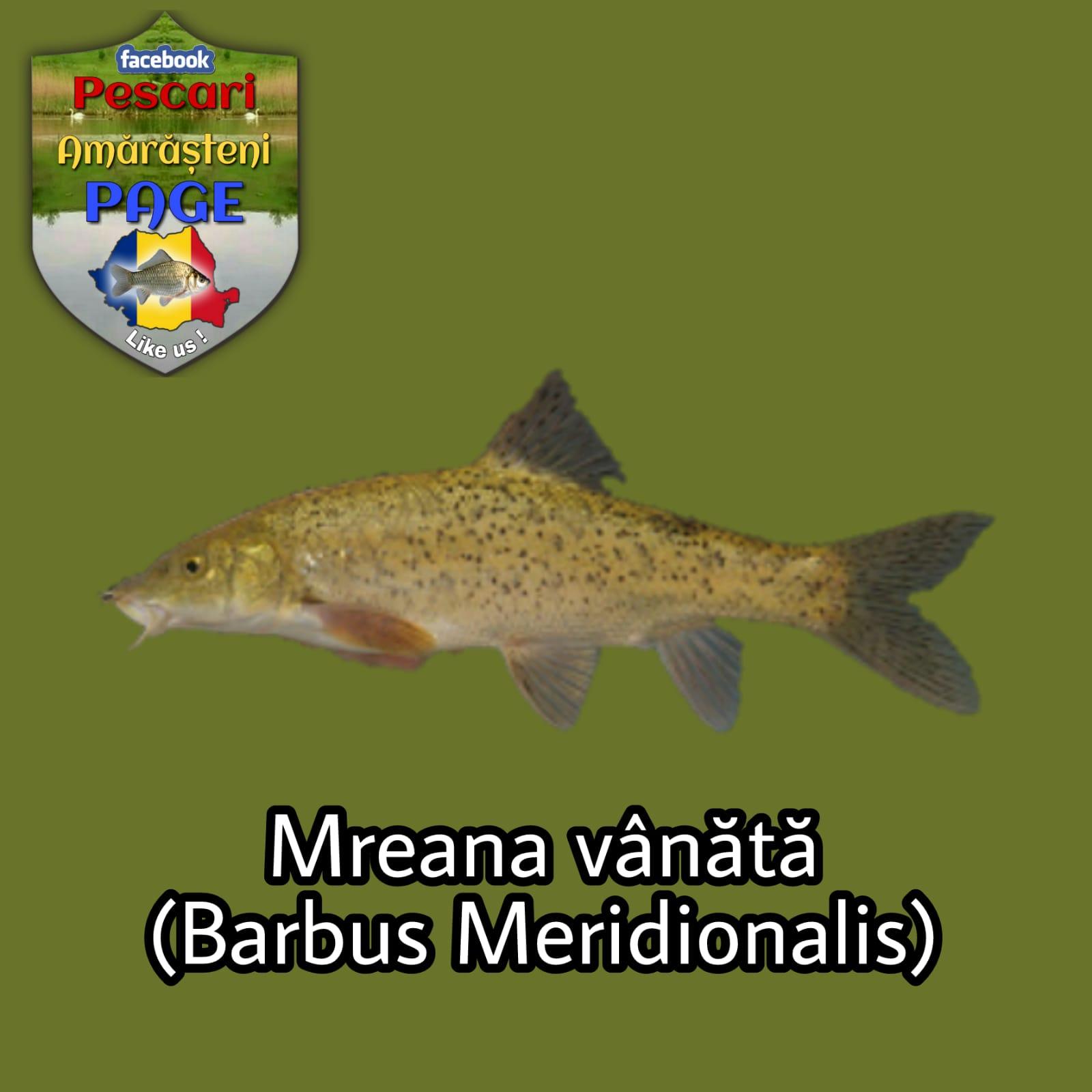 Mreana vânătă (Barbus meridionalis)