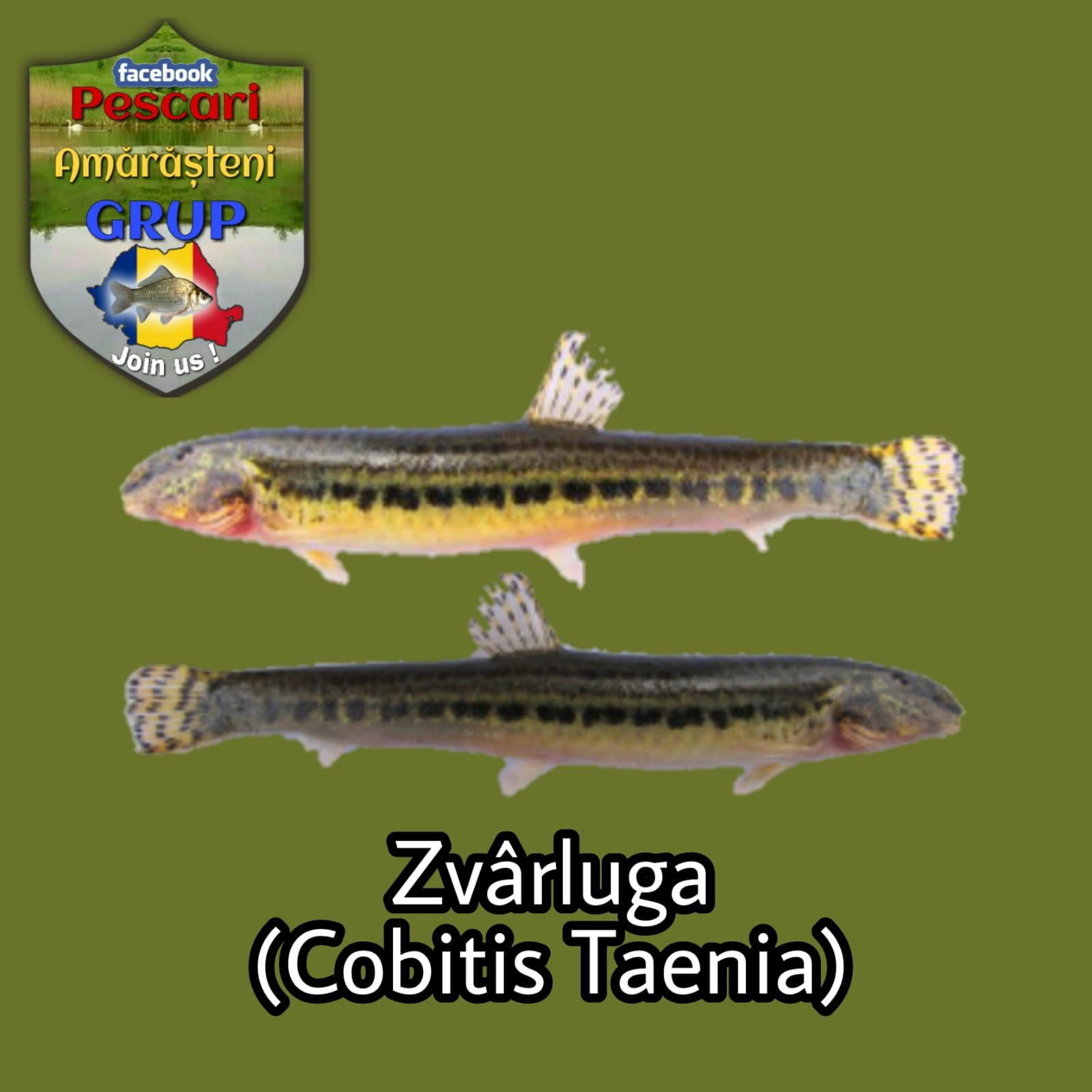 Zvârluga (Cobitis taenia)