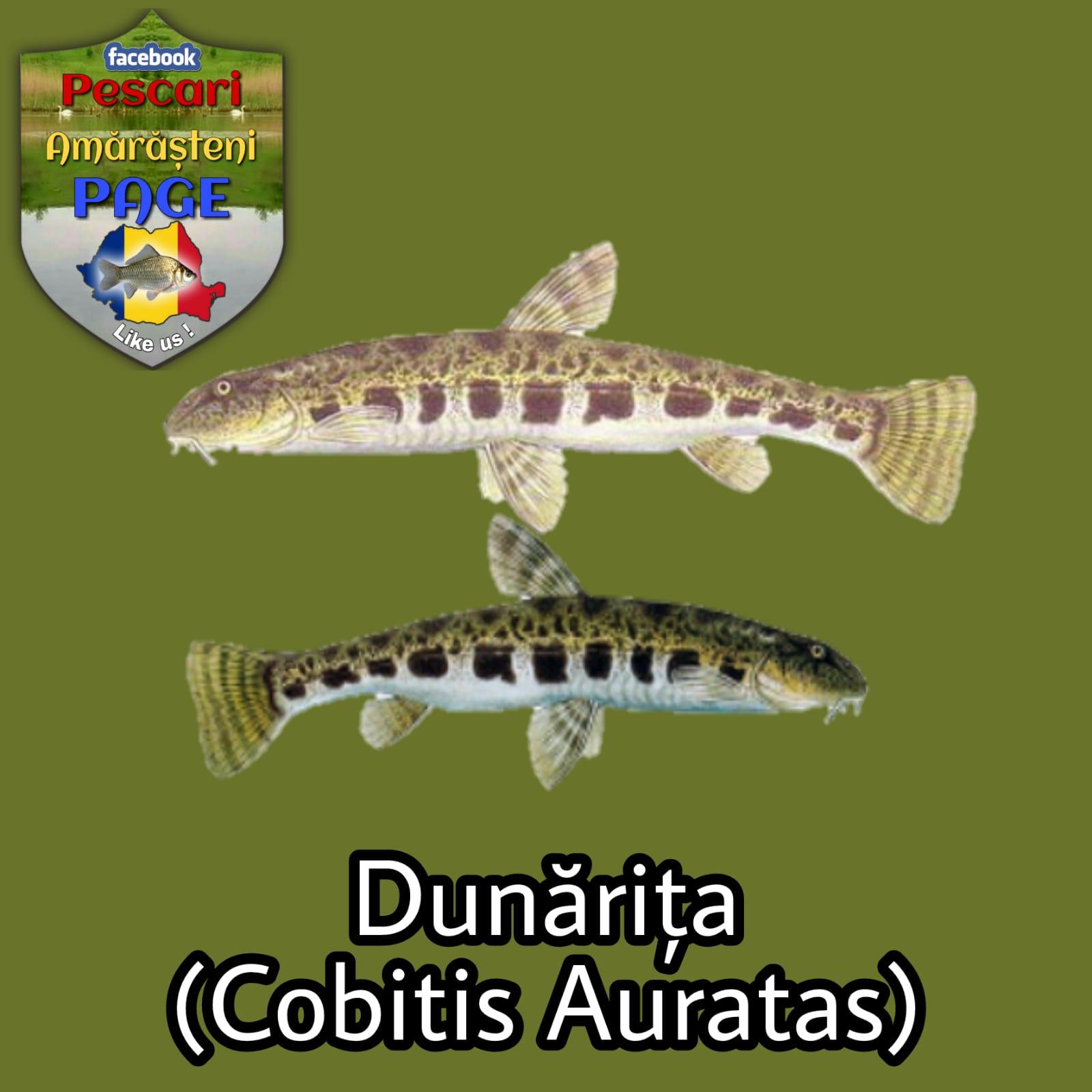 Dunărița (Cobitis aurata)