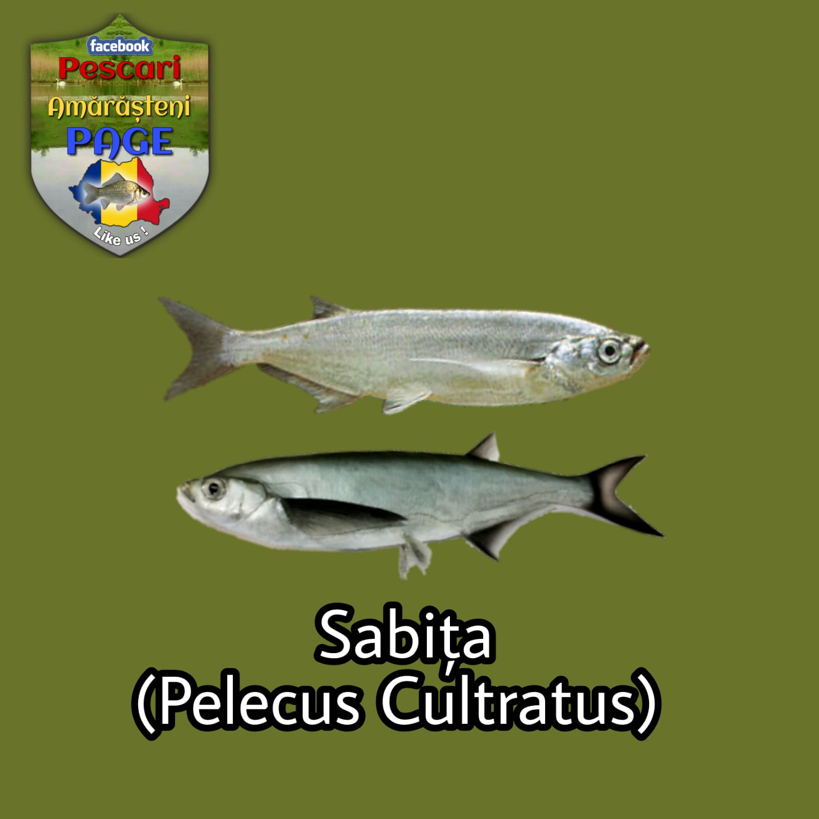 Sabița (Pelecus cultratus)