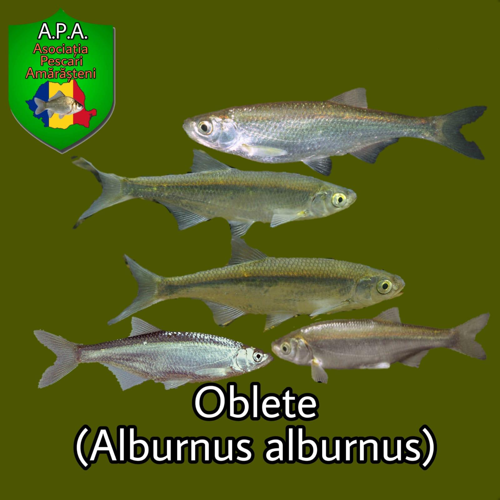 Obletele (Alburnus alburnus)