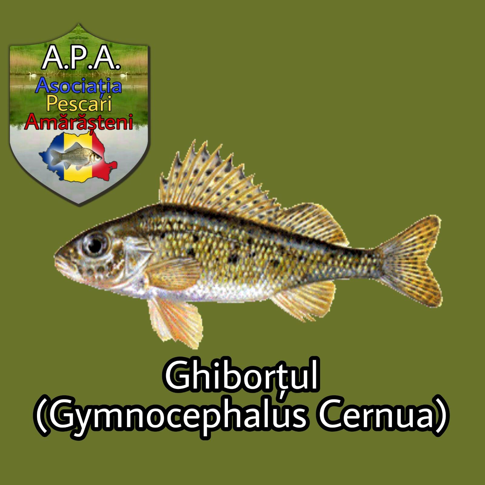 Ghiborțul (Gymnocephalus cernua)