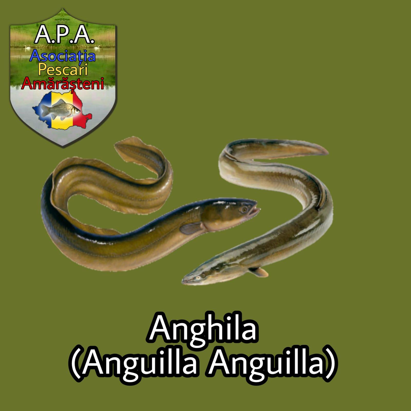 Anghila (Anguila anguila)