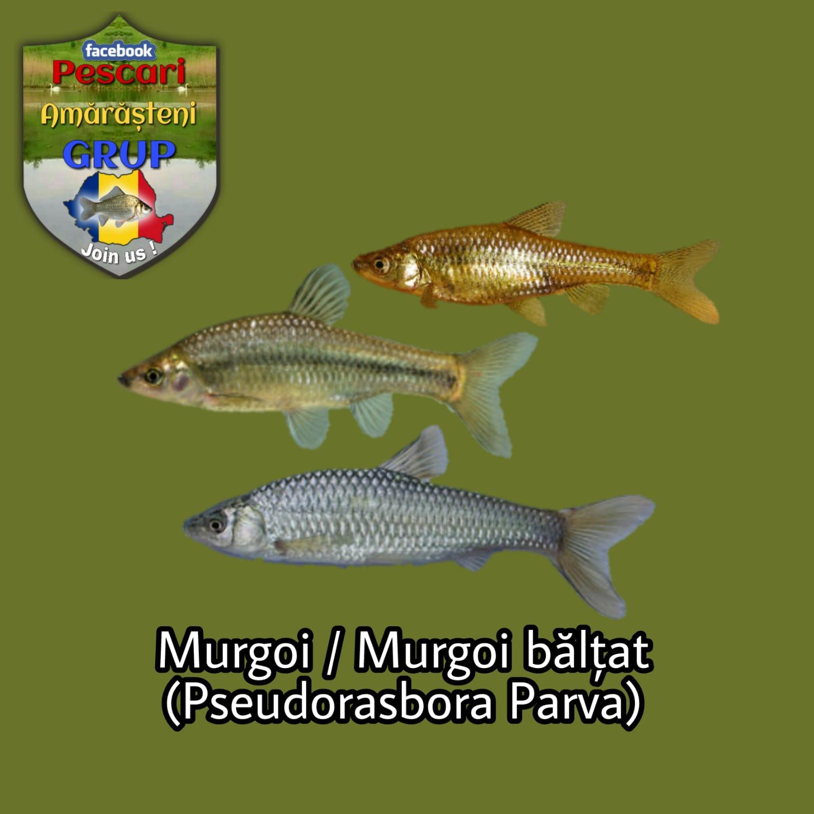 Murgoiul sau murgoiul bălţat (Pseudorasbora parva)