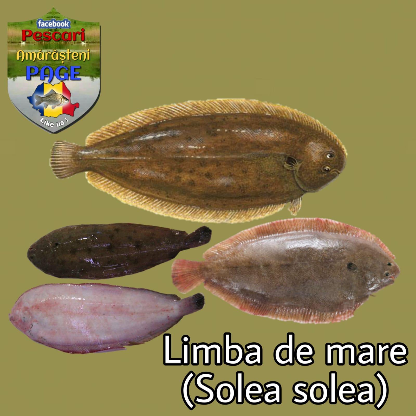 Limba de mare (Solea solea Linnaeus -1758)