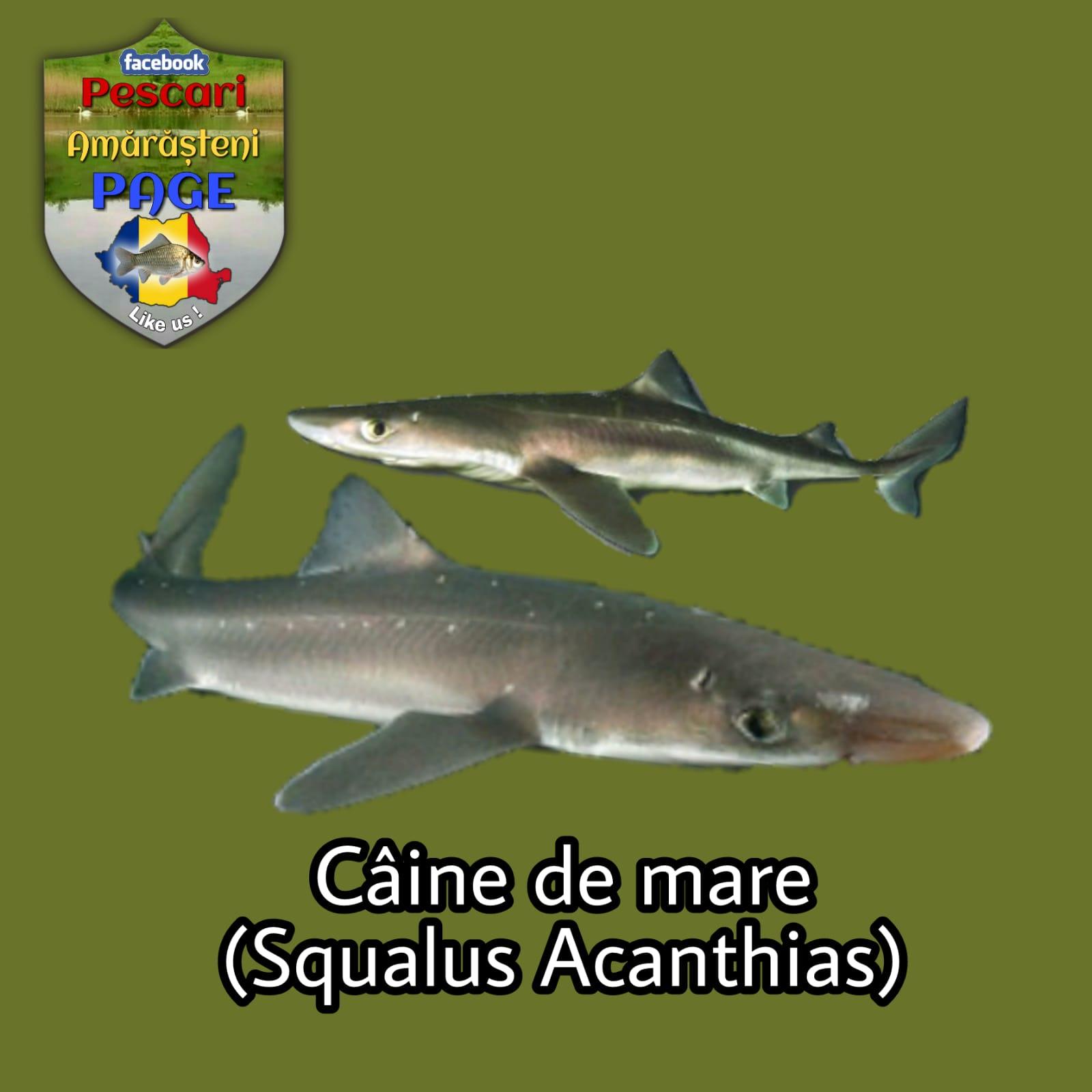 Câinele de mare (Squalus acanthias)