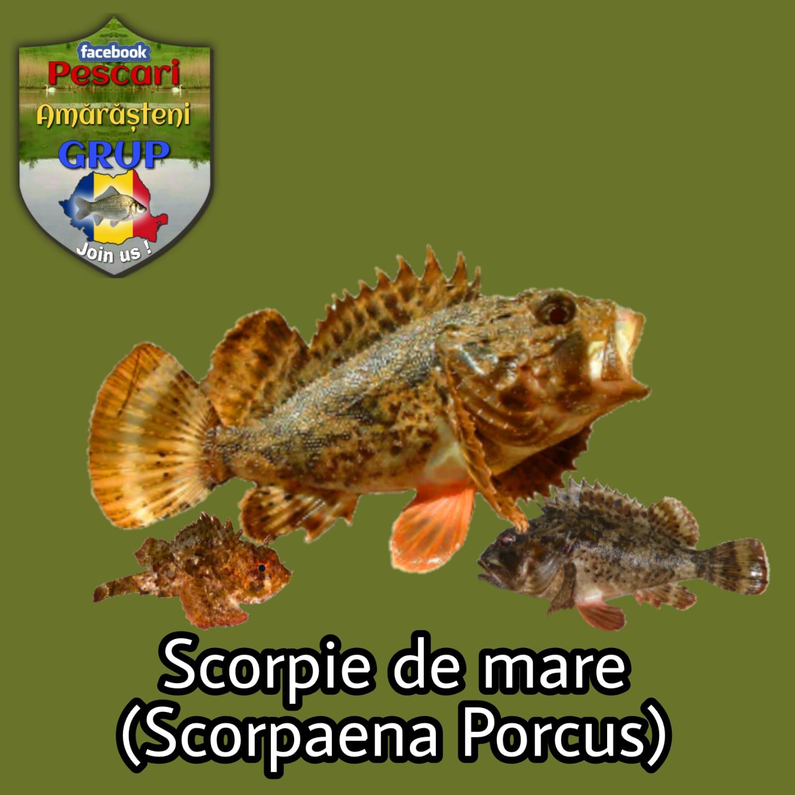 Scorpia de mare (Scarpoena porcus)