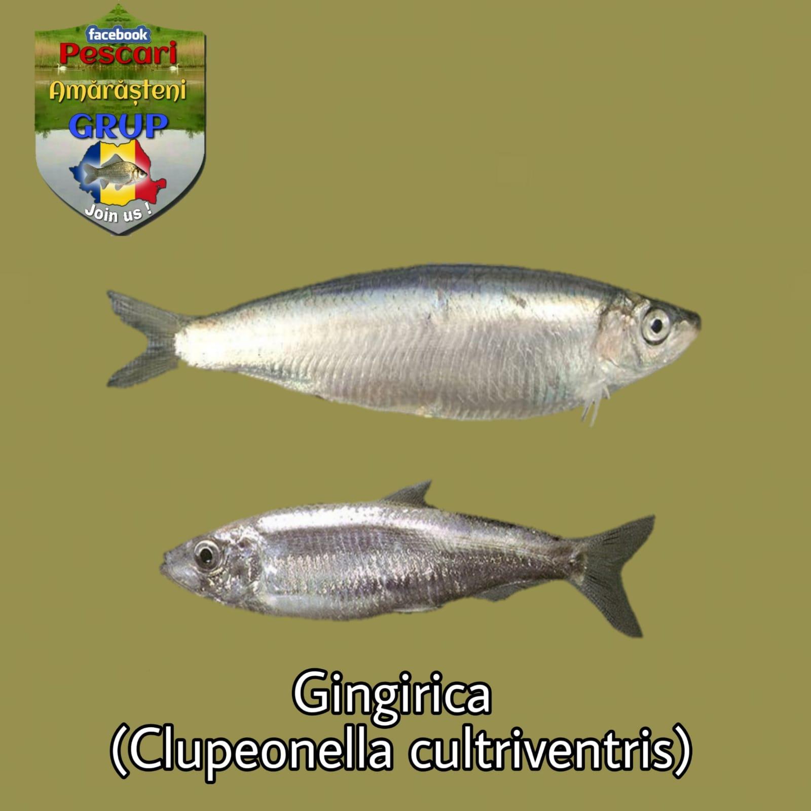 Gingirica (Clupeonella cultriventris)