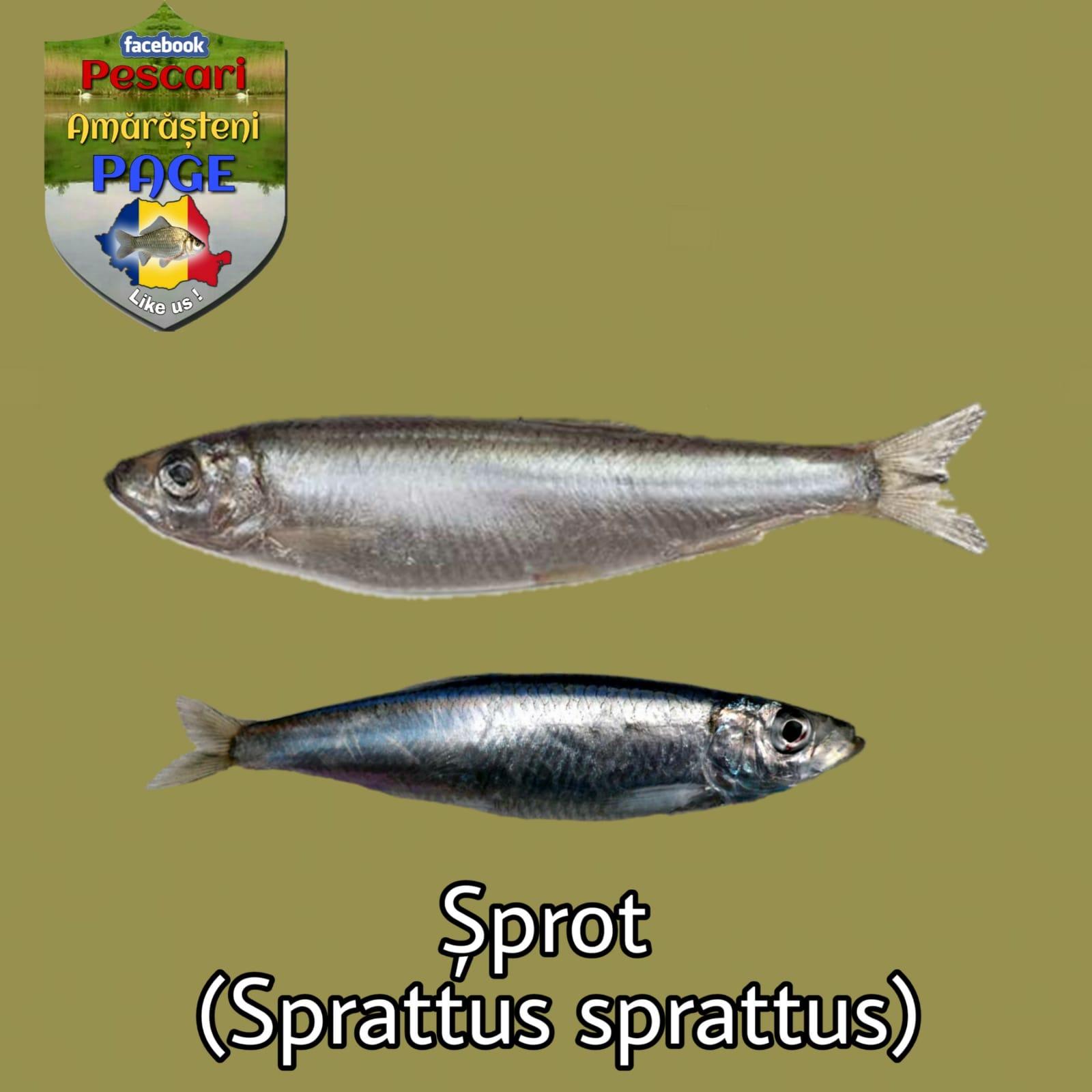 Şprotul (Sprattus sprattus)