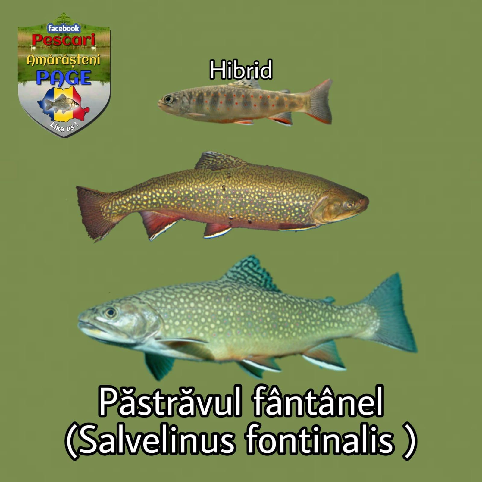 Păstrăvul fântânel (Salvelinus fontinalis)