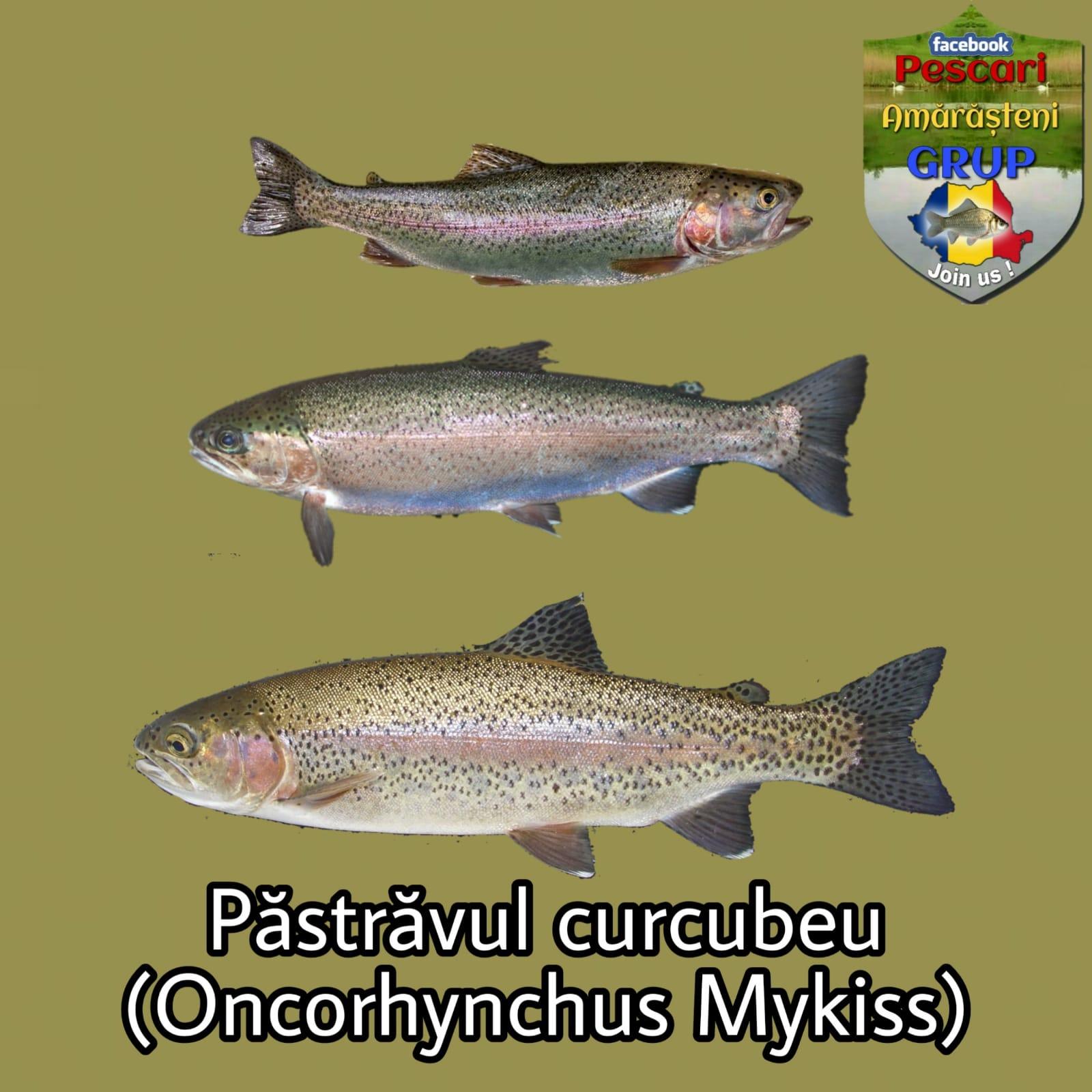 Păstrăvul curcubeu (Oncorhynchus mykiss)