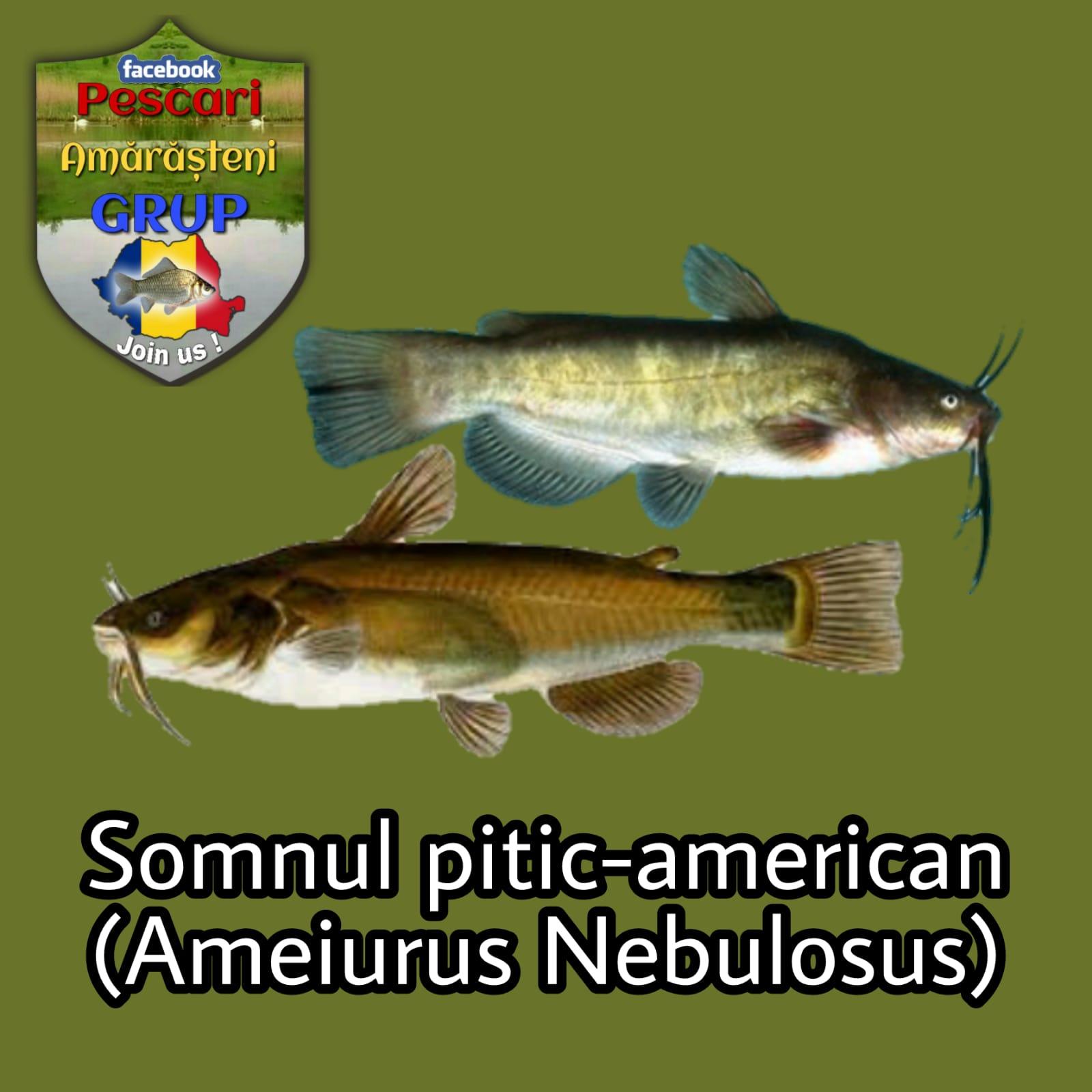 Somnul pitic american, (Ameiurus nebulosus)