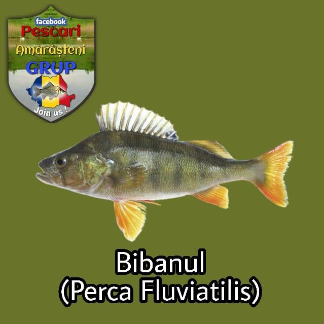 Bibanul (Perca fluviatilis)