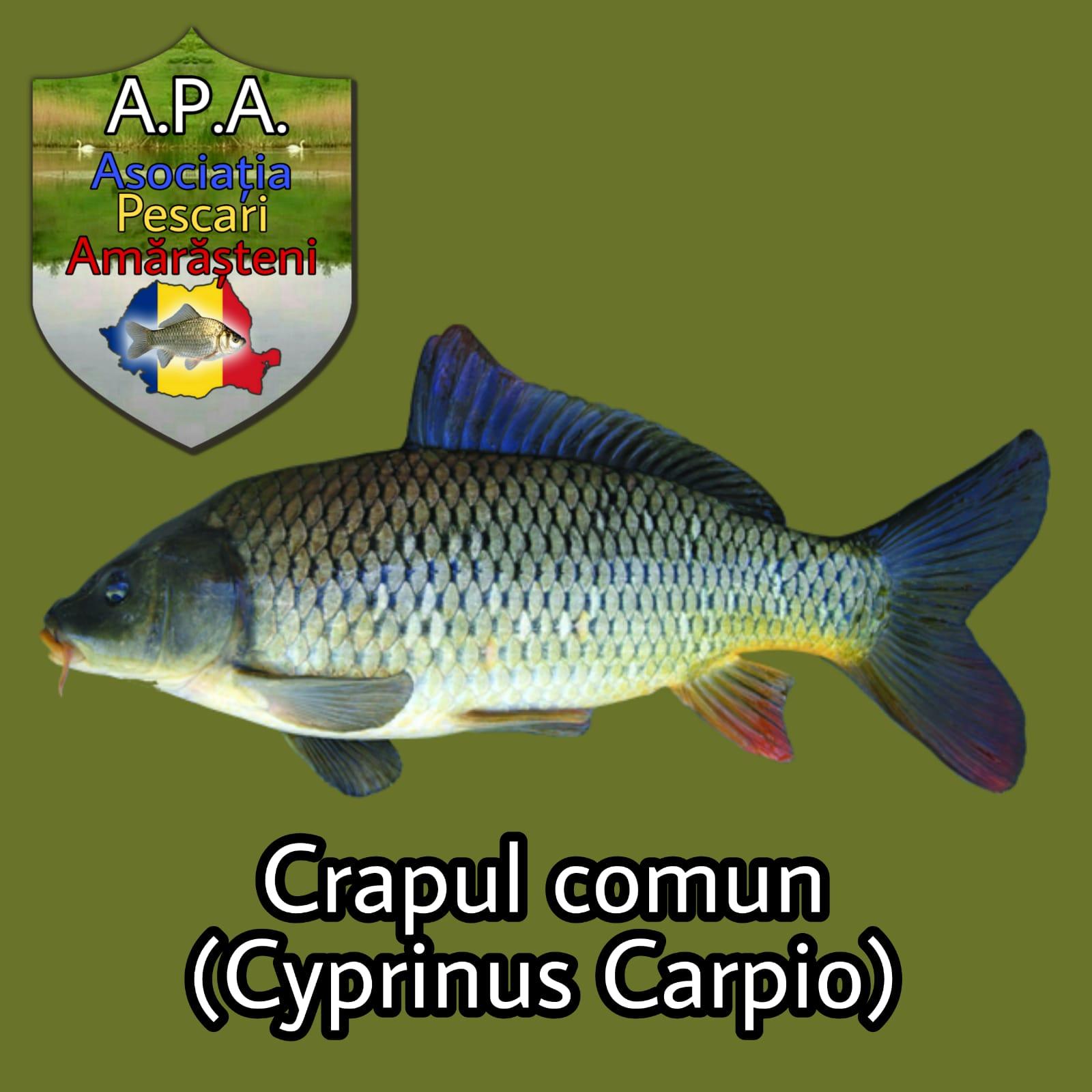 Crapul comun (Cyprinus carpio/Common carp)