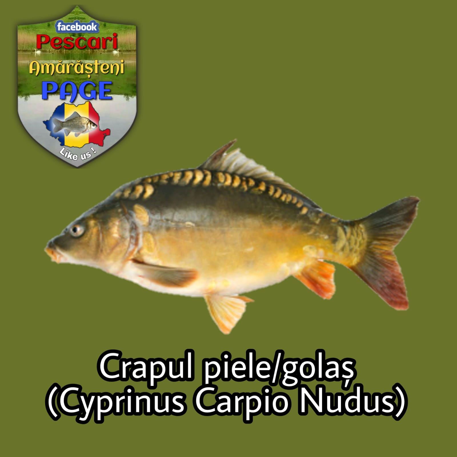 Crapul piele (Cuprins carpio nudus)