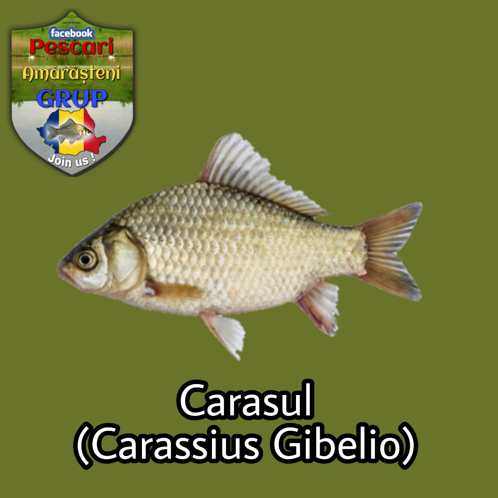 Carasul (Carassius gibelio)