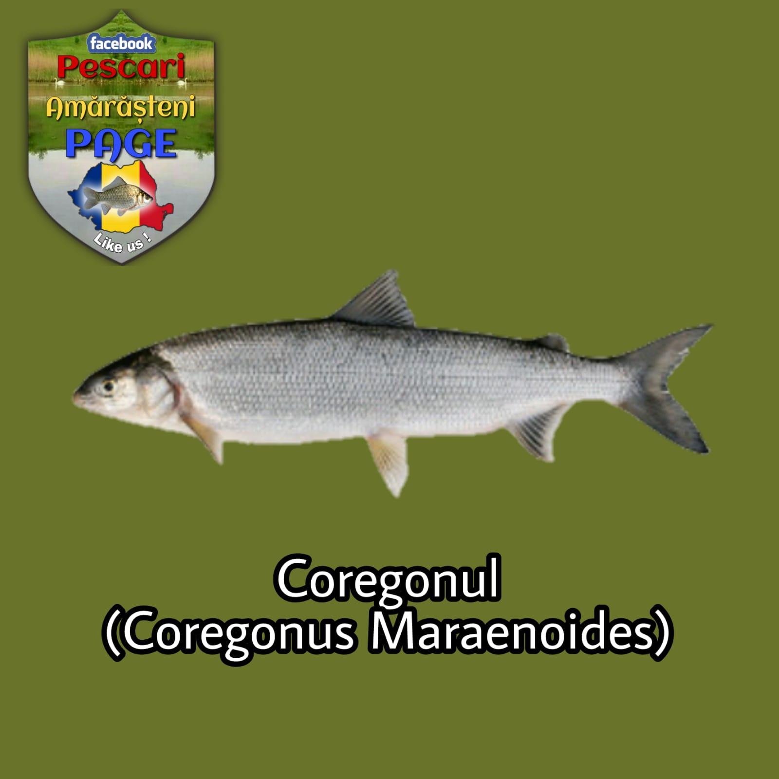 Coregonul (Coregonus lavaretus maraenoides)