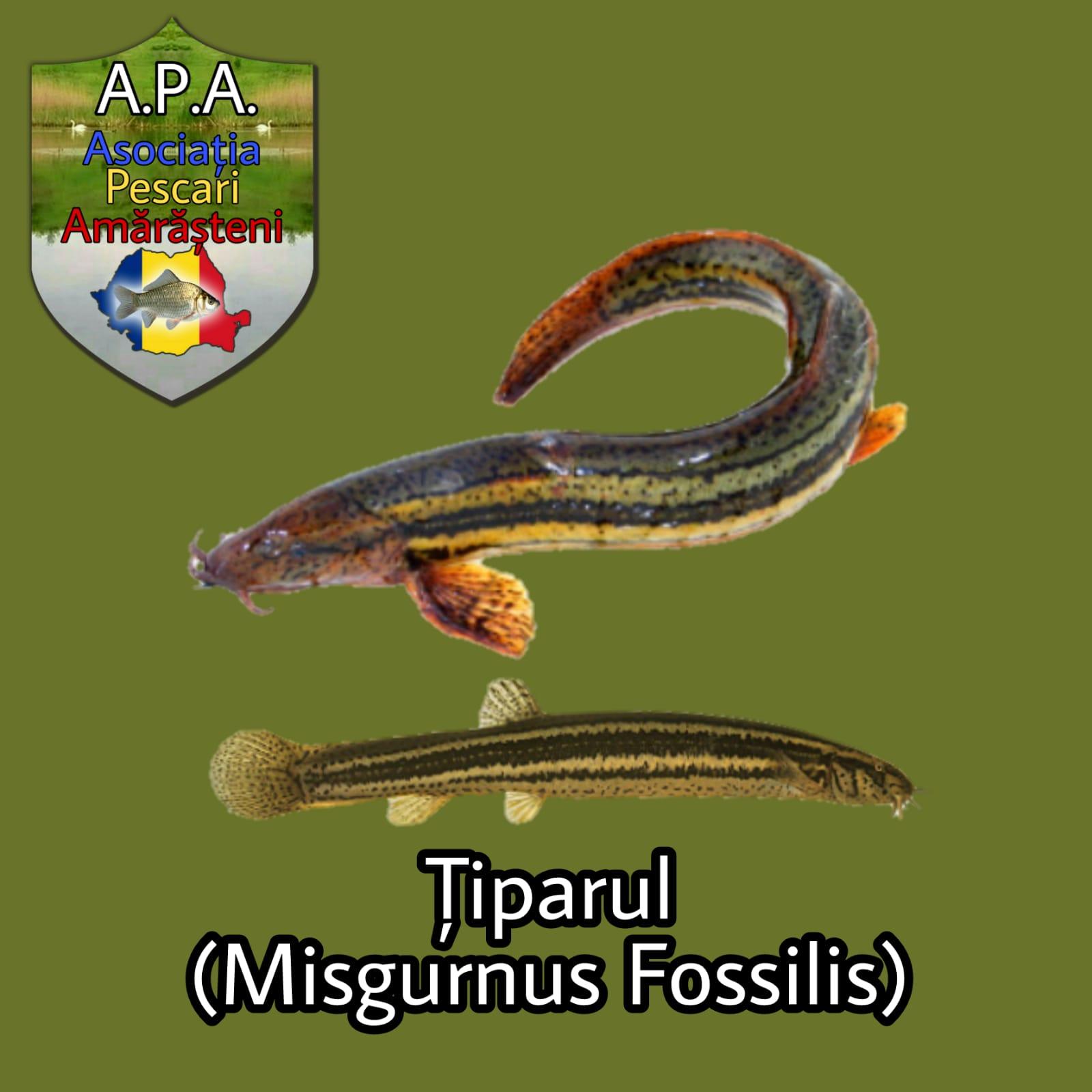 Țiparul (Misgurnus fossilis), vârlarul (reg.)