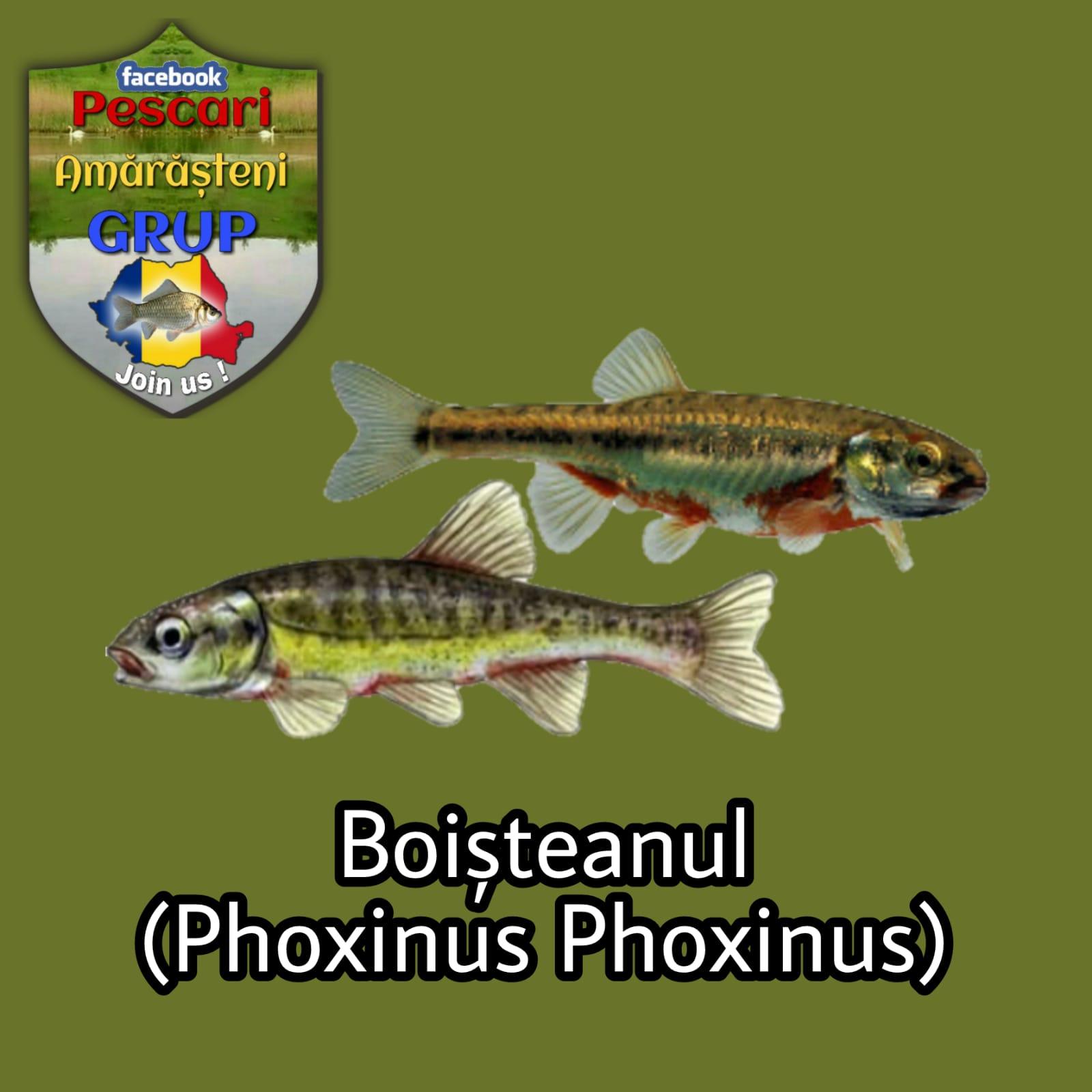 Boișteanul (Phoxinus phoxinus)