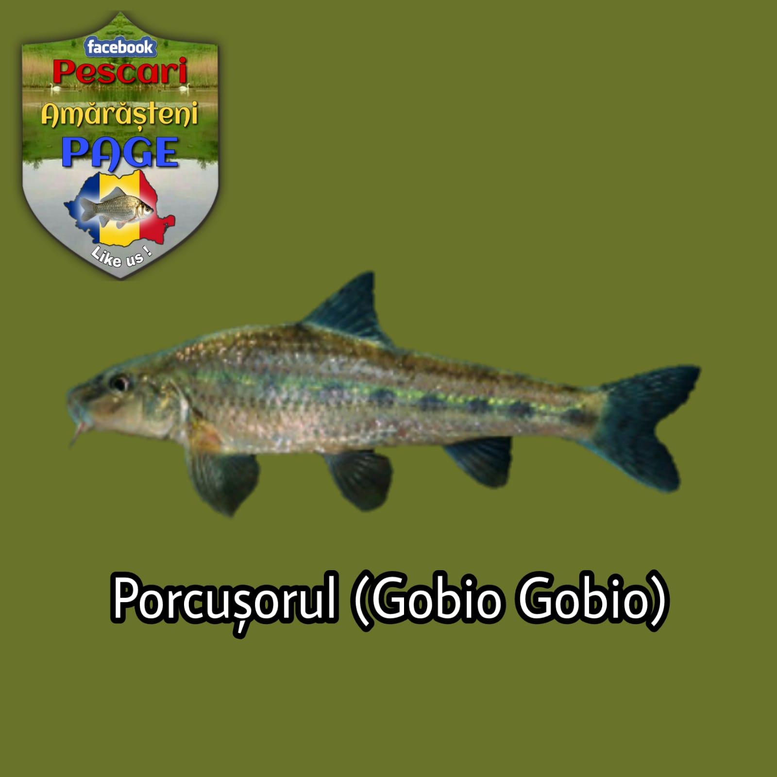 Porcușorul (Gobio gobio)