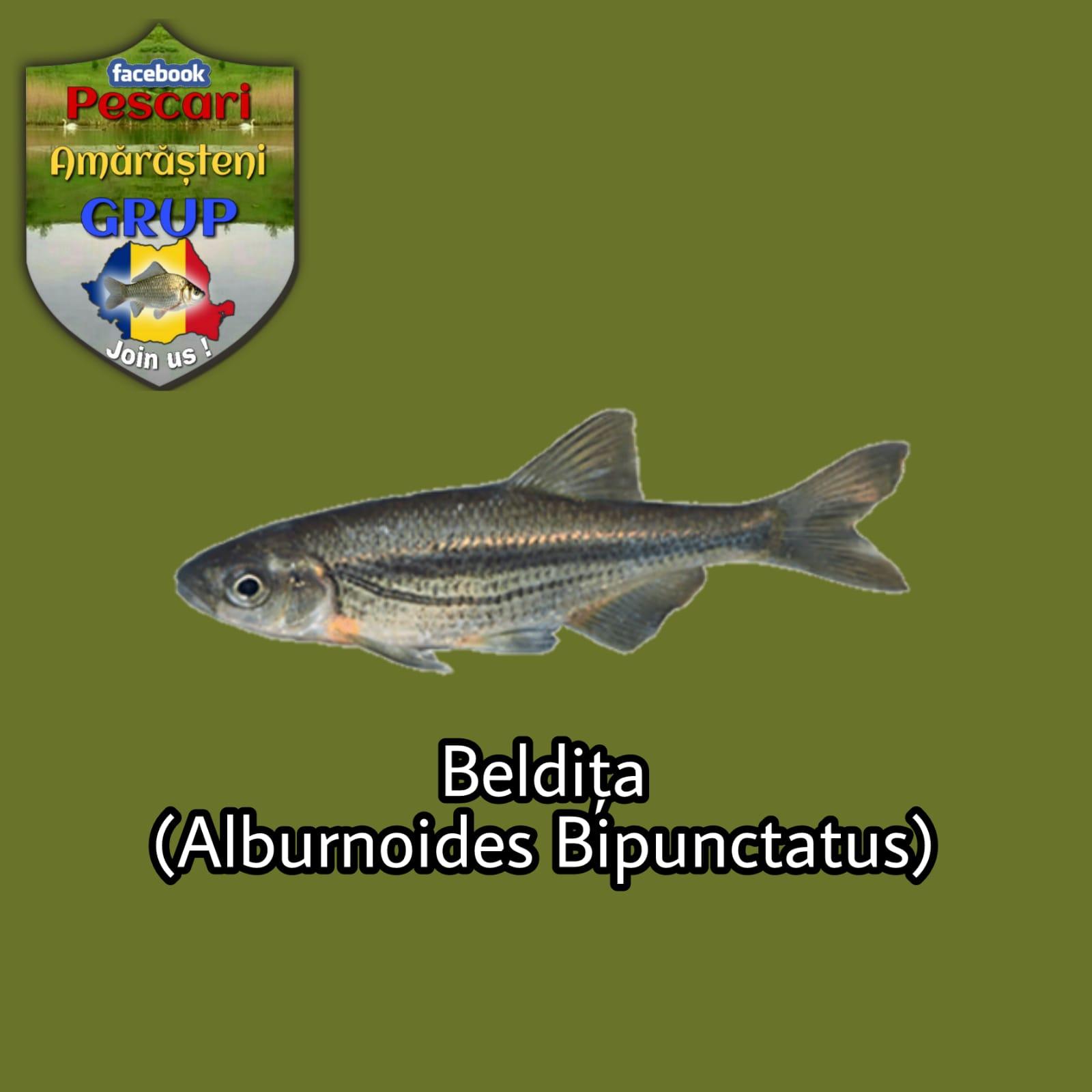Beldița (Alburnoides bipunctatus)