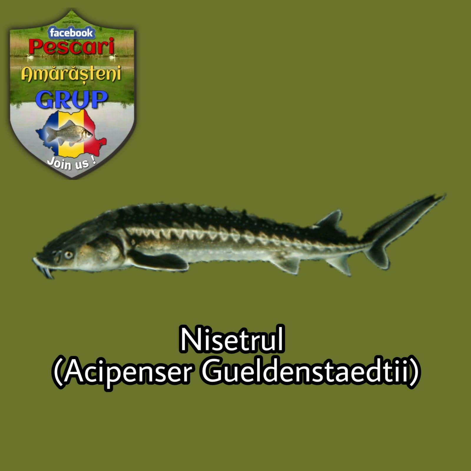 Nisetrul (Acipenser gueldenstaedtii)