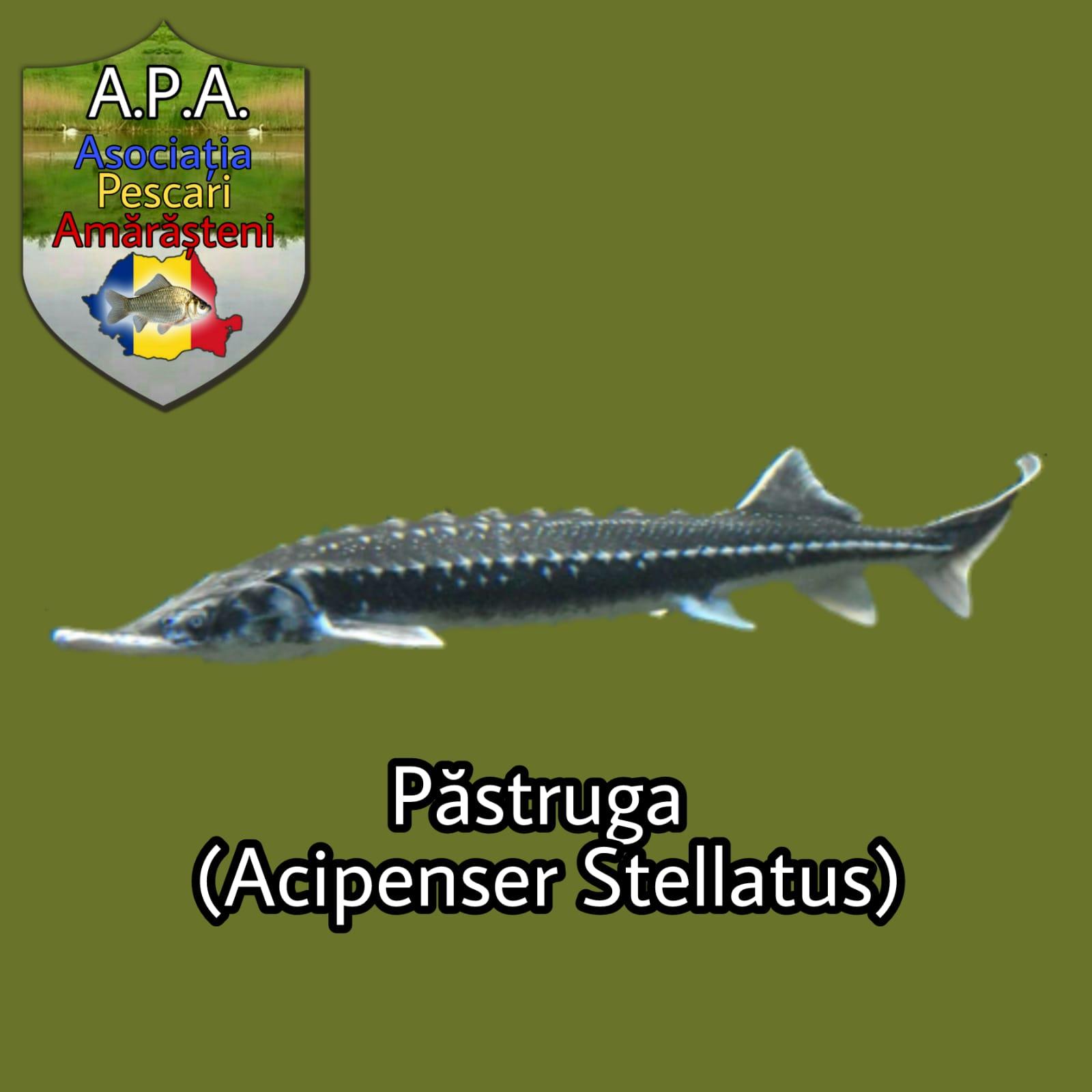 Păstruga (Acipenser stellatus)