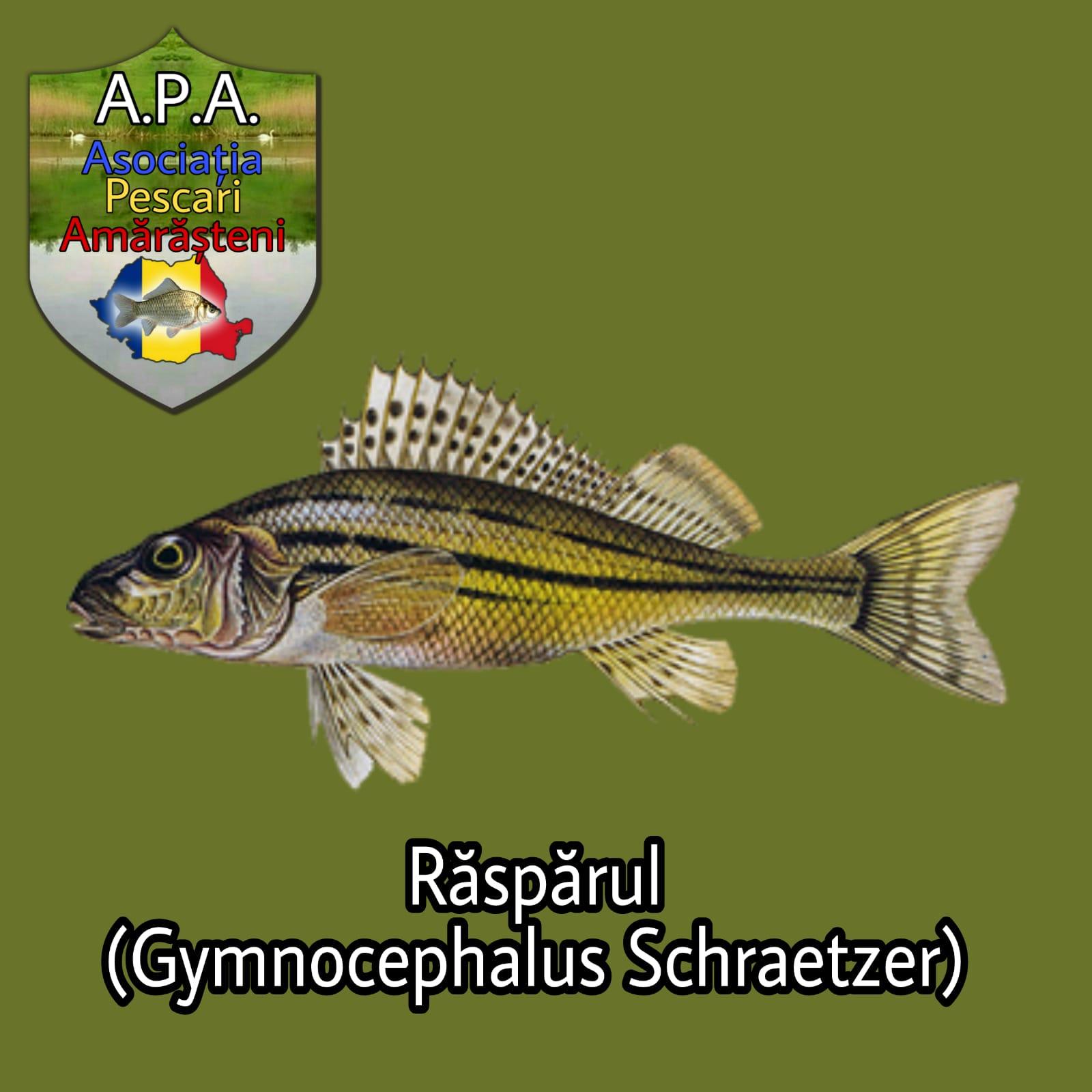 Răspărul (Gymnocephalus schraetser)