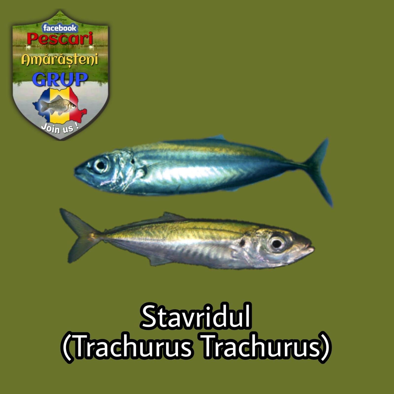 Stavridul (Trachurus trachurus)