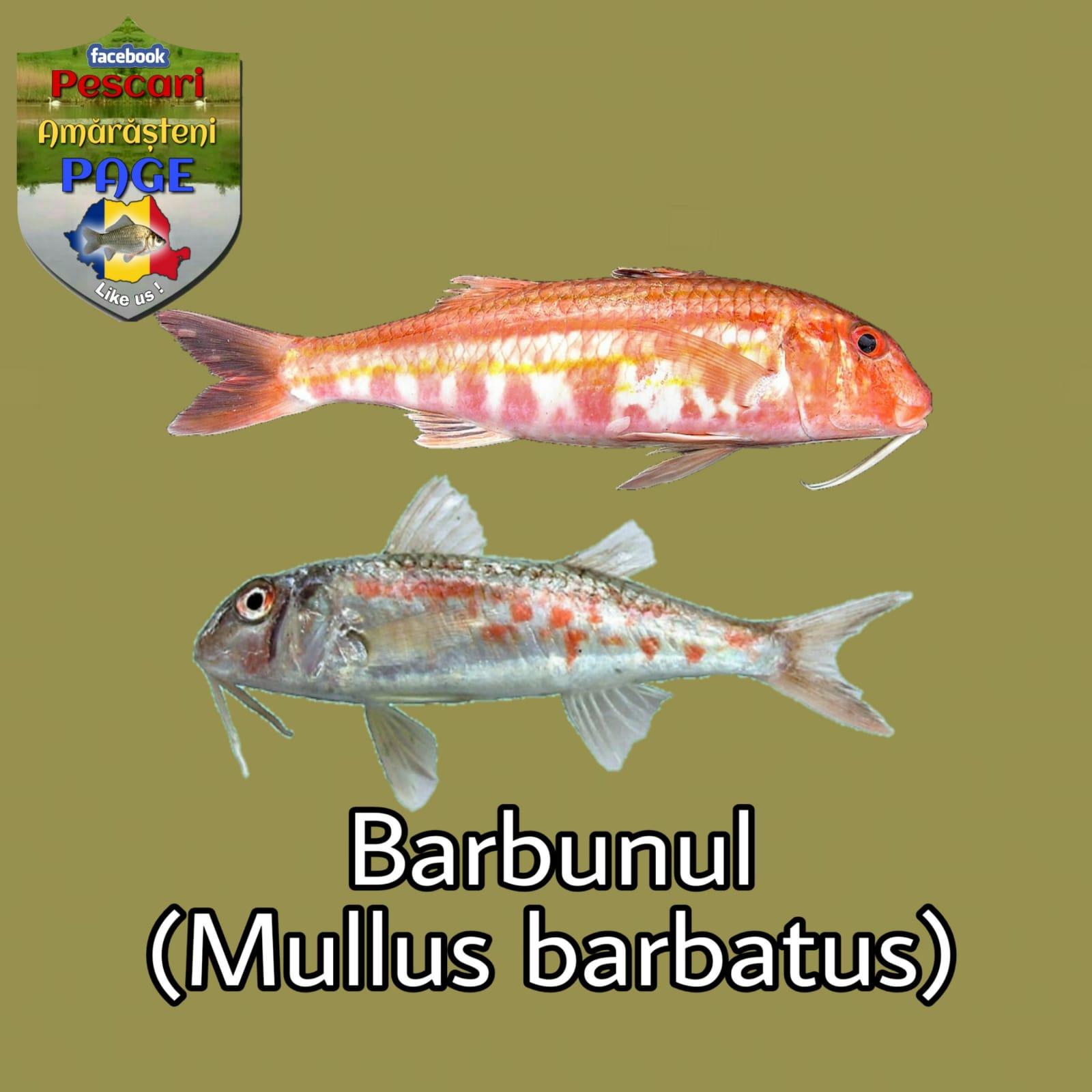 Barbunul (Mullus barbatus ponticus)