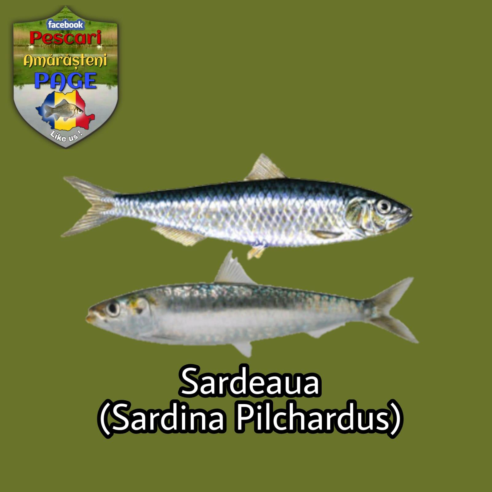 Sardeaua/sardina (Sardina pilchardus)