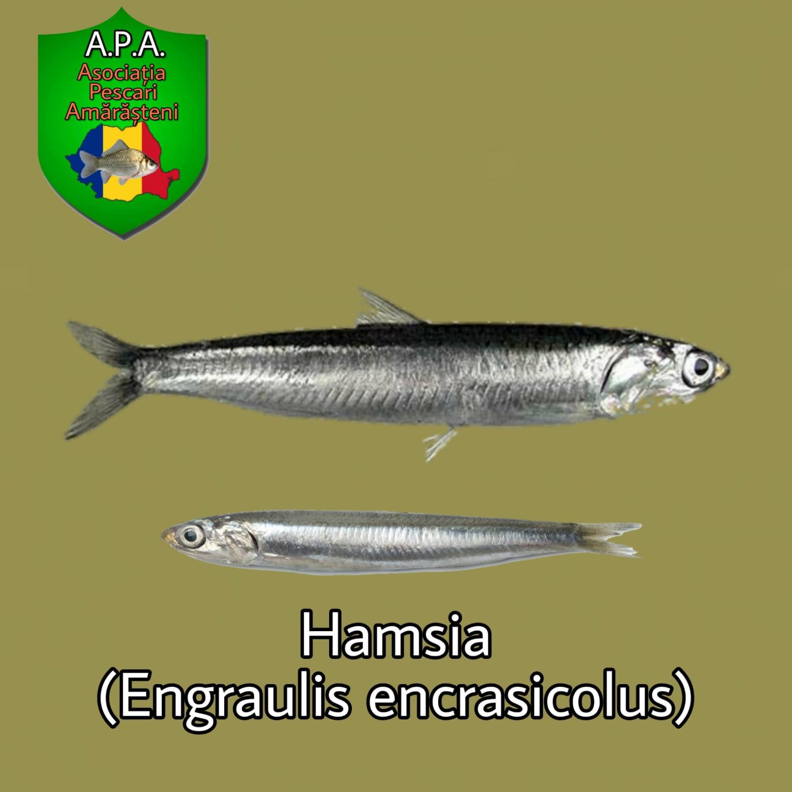 Hamsia (Engraulis encrasicolus)